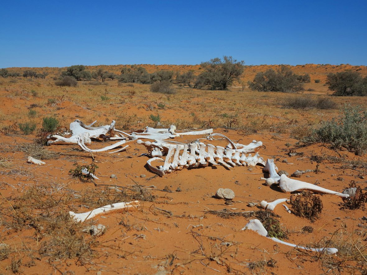 Bones found in the Simpson Desert.