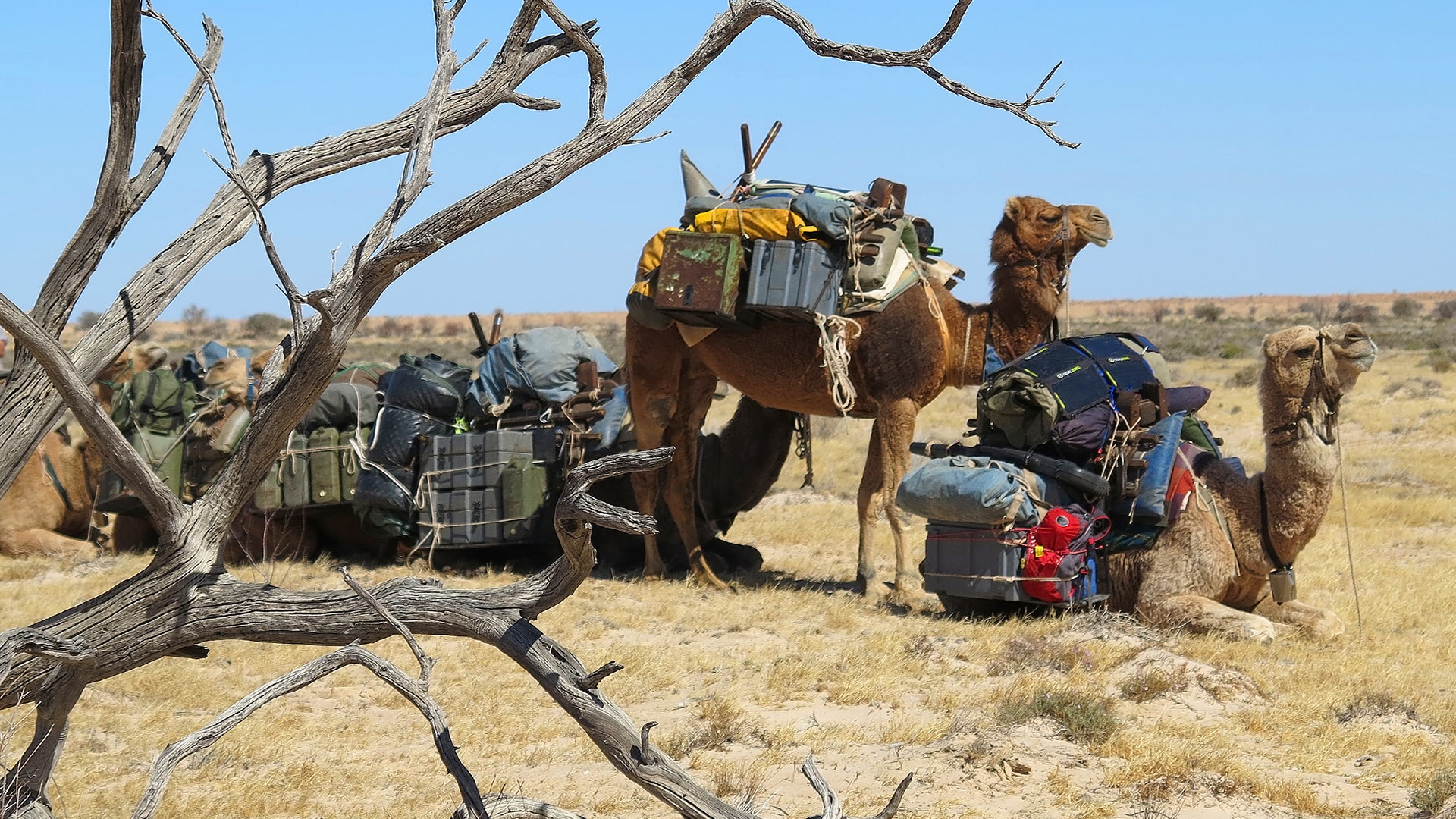 Camels in the Simpson Desert,