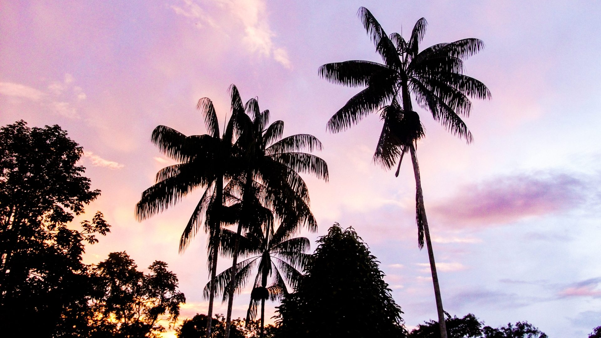Palm trees are silhouetted against a magenta sky as the sun sets in the Amazon.