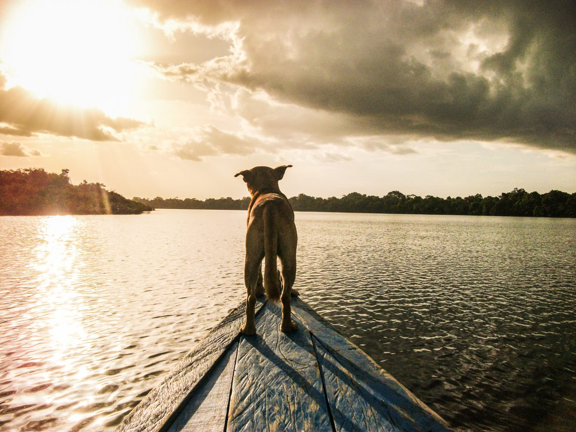 A dog perches on the end of a river boat in the Amazon jungle.