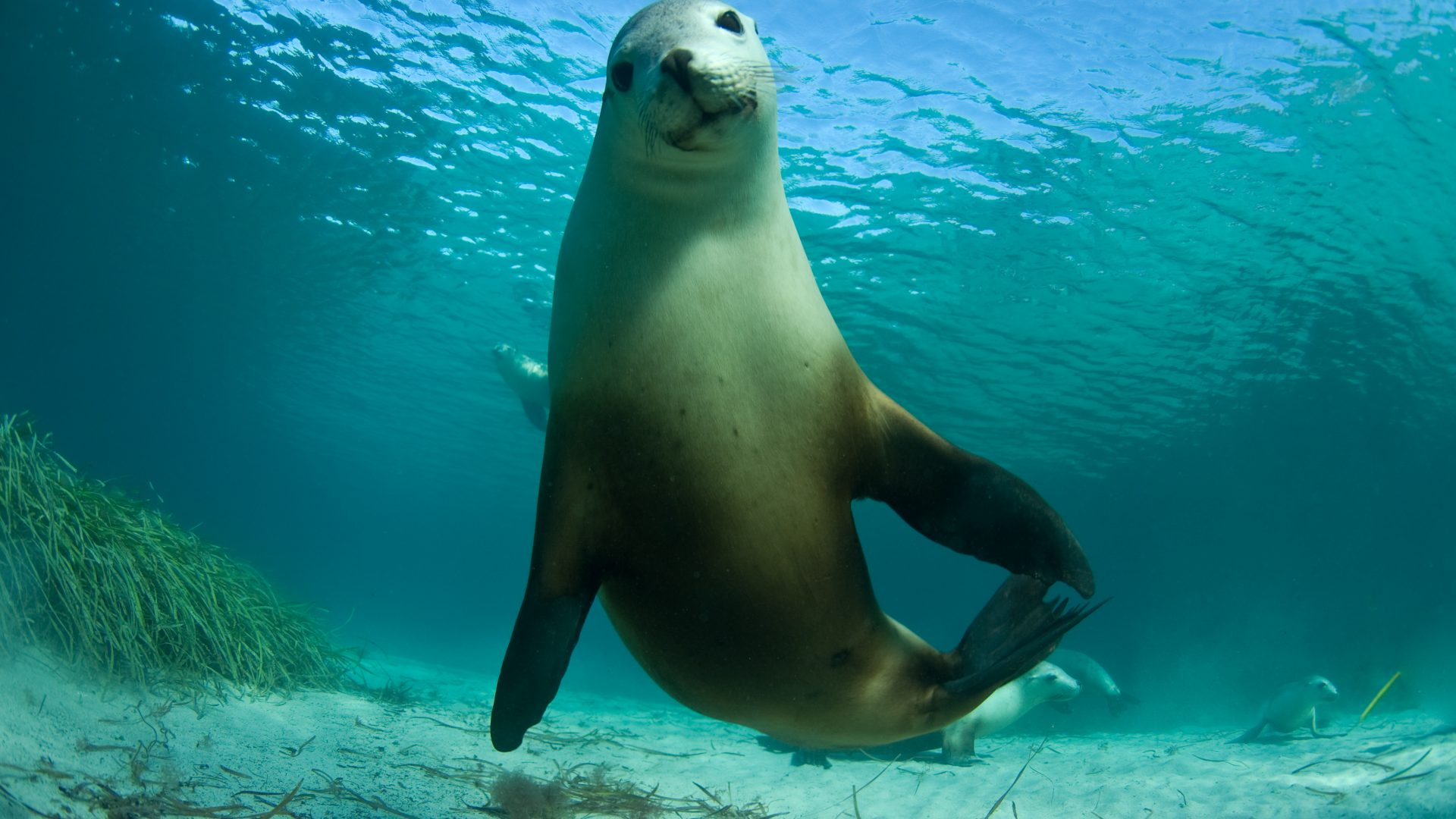 An Australian sea lion looks at the camera.