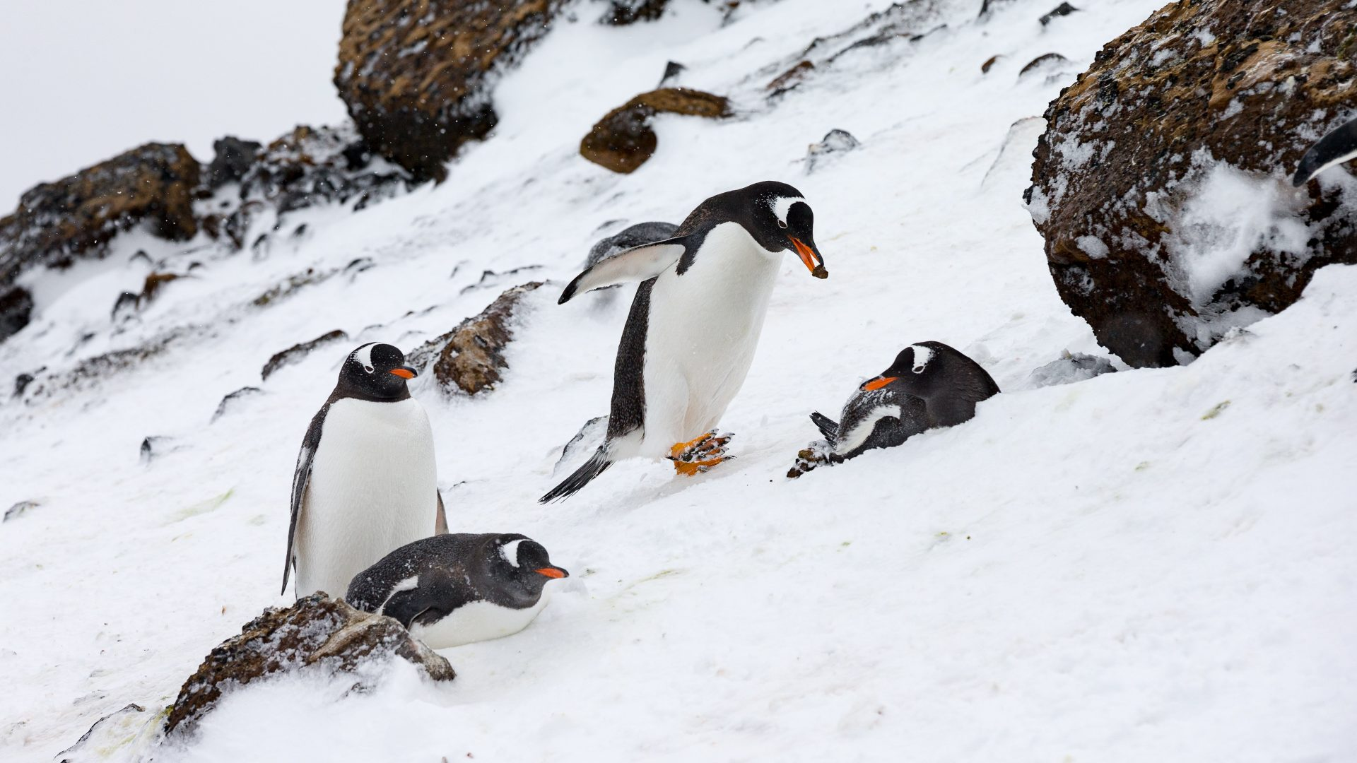 Penguins play in the snow in Antarctica.