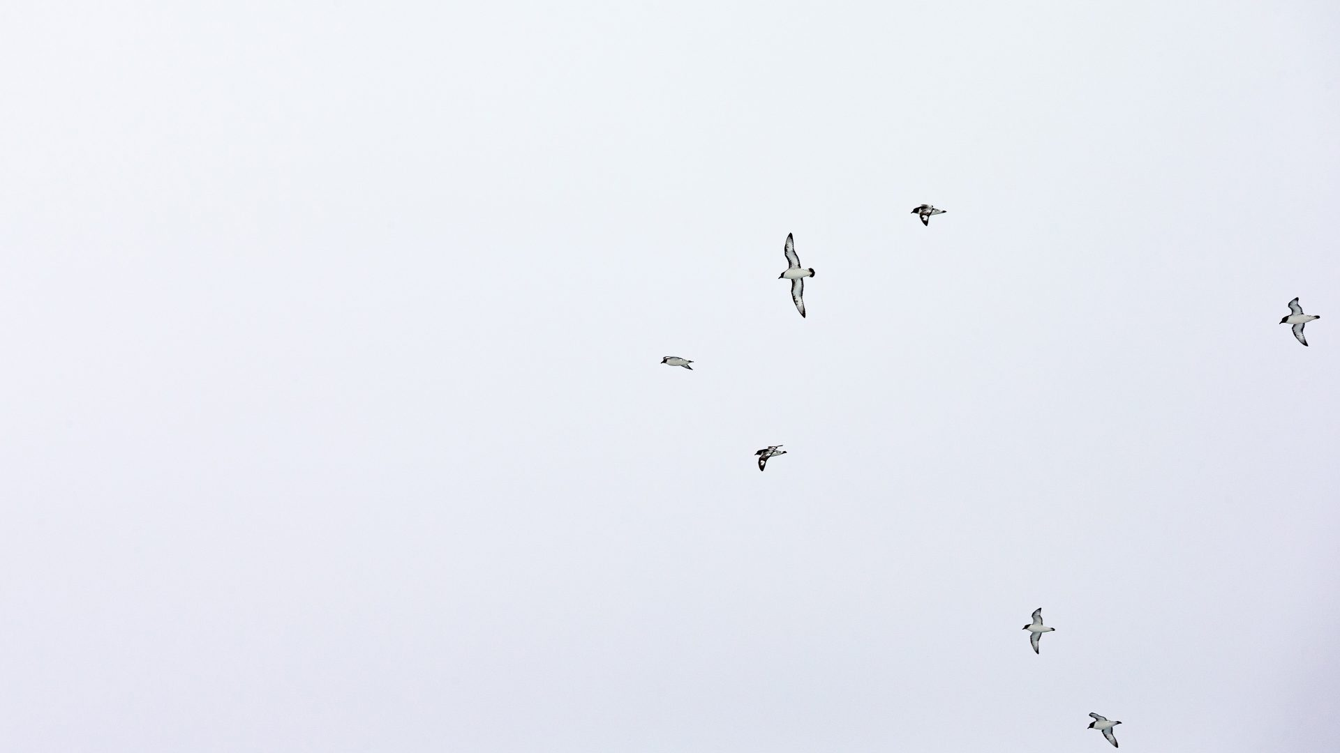Birds fly against a cloudy sky in Antarctica.