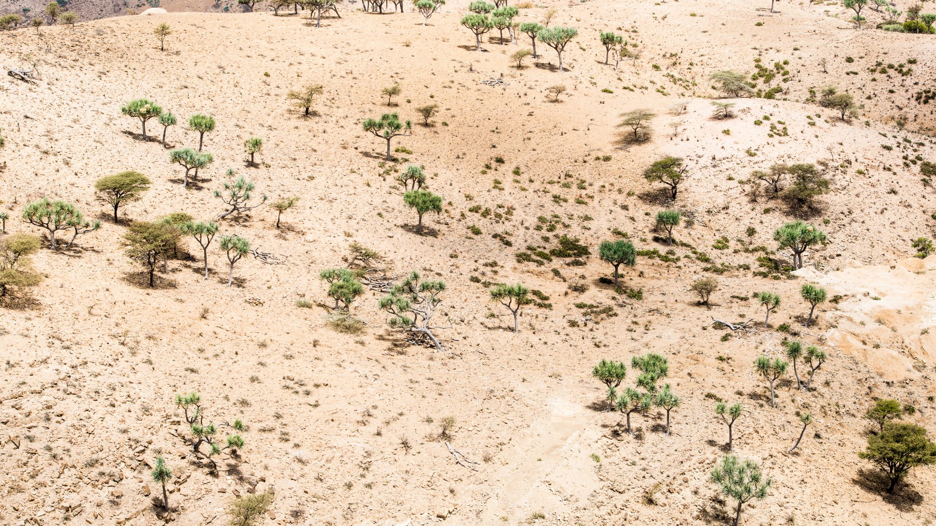 Green trees break up the vasts arid plains in the area surrounding the Danakil Depression in Ethiopia.