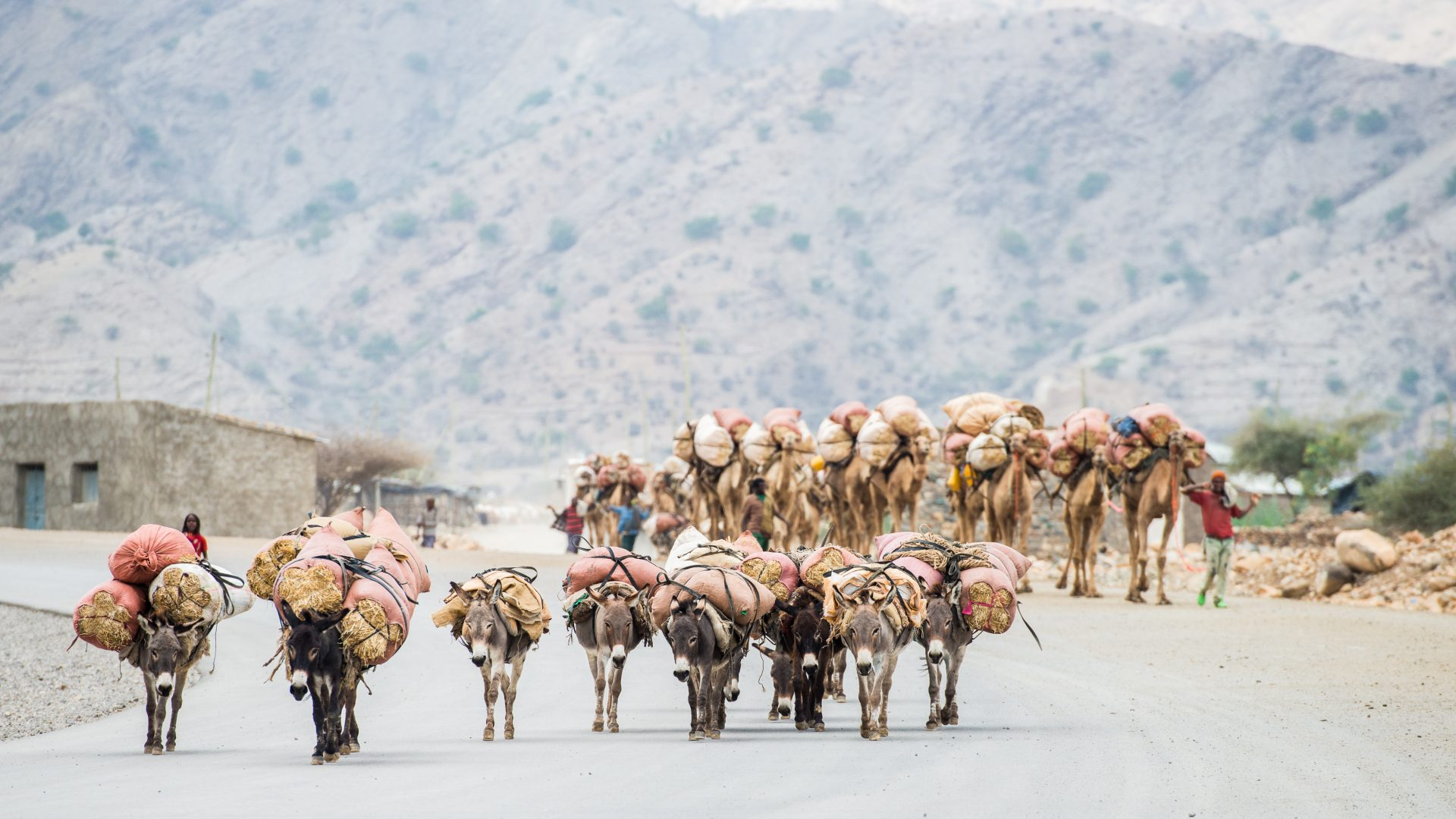Camels and donkeys laden with salt make their way to market in the area of the Danakil Depression, Ethiopia.