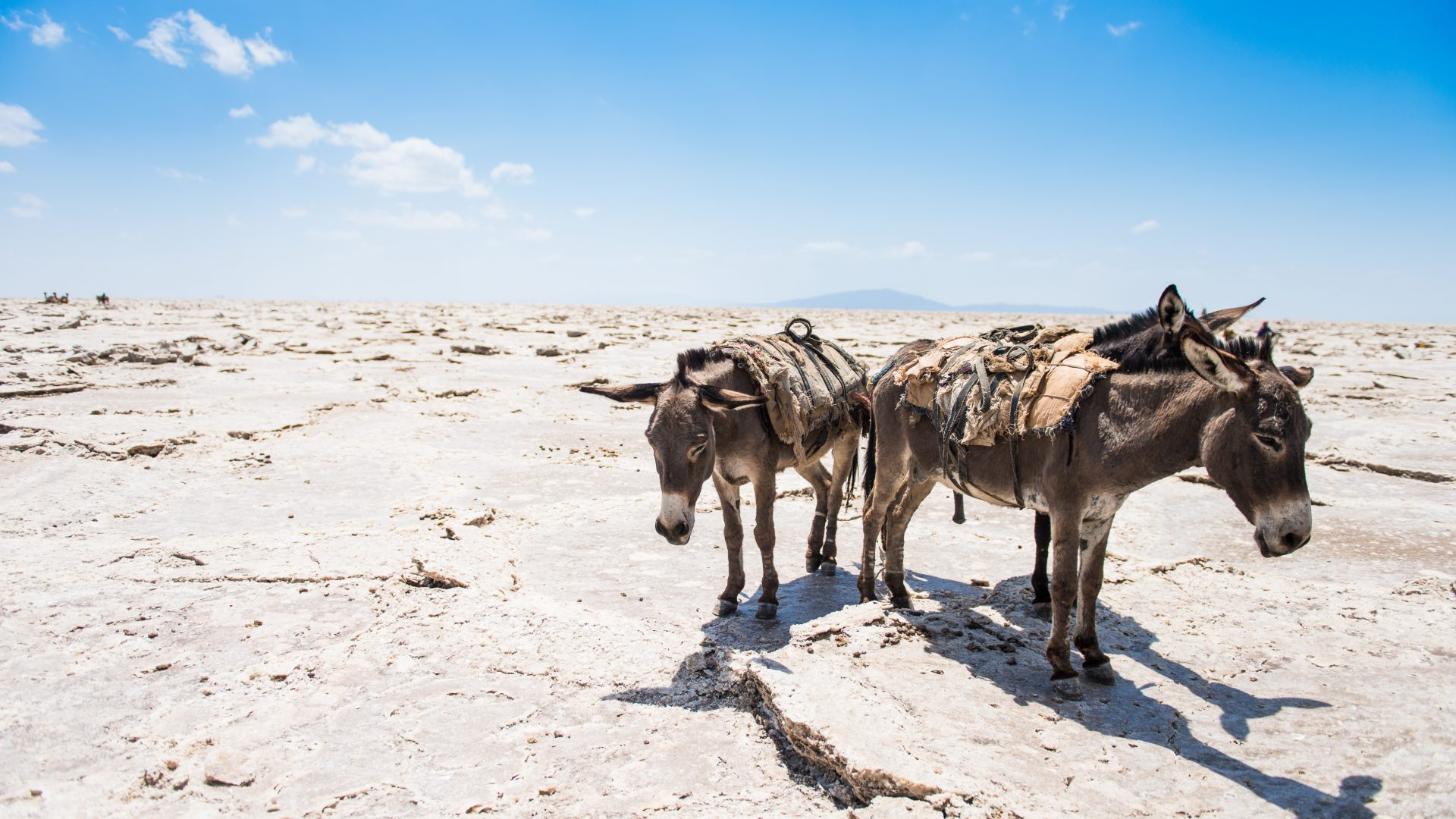 Donkeys look weary as they stand in the beating sun, at the salt plains in the NorthEast of Ethiopia