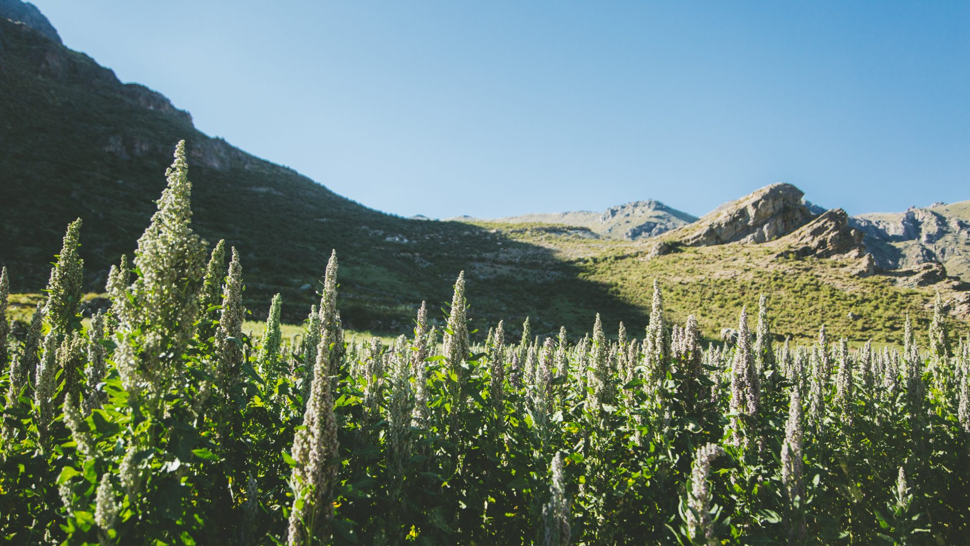 Quinoa flowers front the backdrop of green mountains in the Colca Canyon in Peru