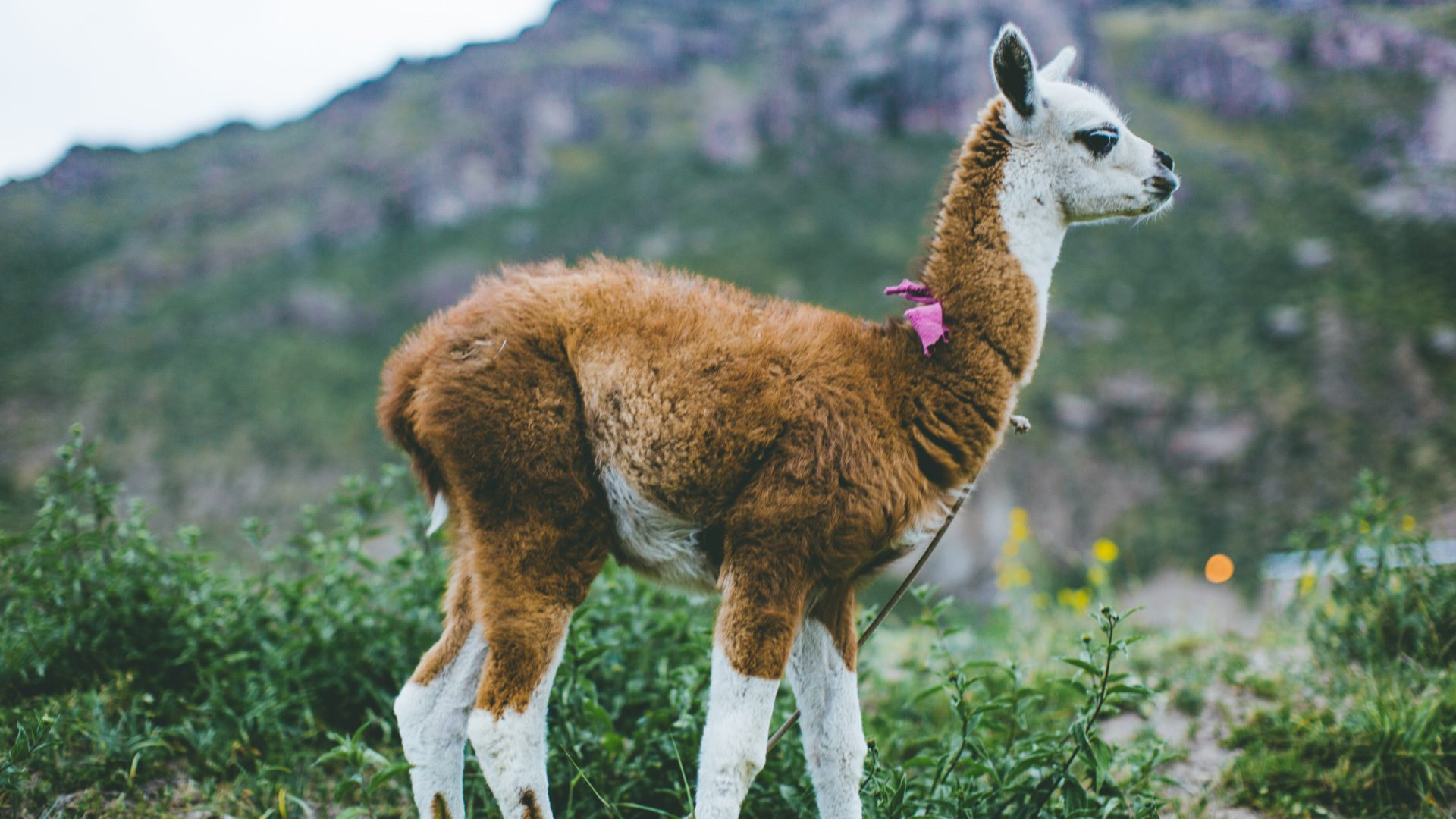 This baby alpaca was on the periphery of the fields as well as other livestock and dot the landscape. These animals, endemic to Peru make the landscape look try to country.