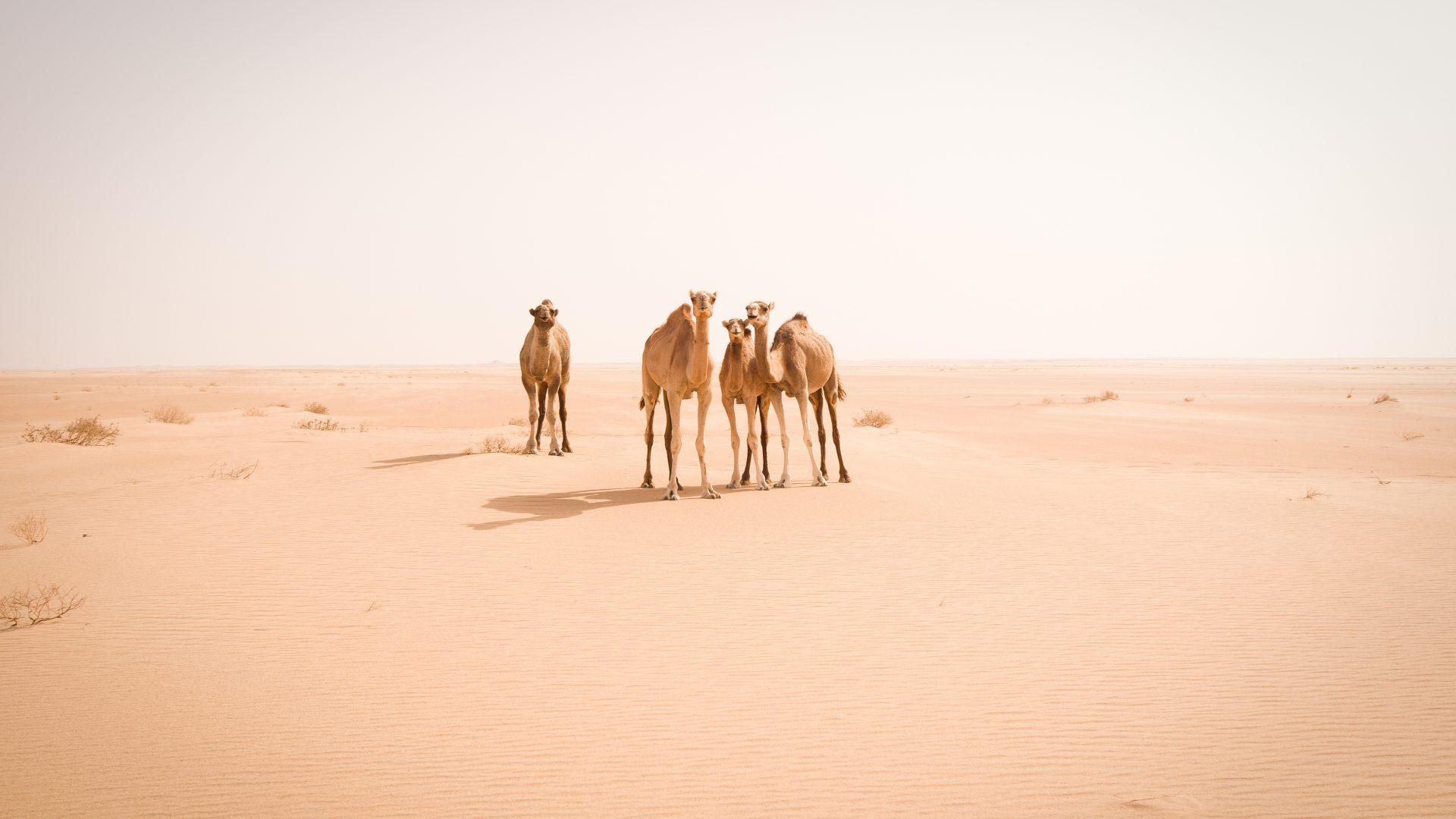 Curious wild camels stare at us in the middle of the Sahara desert.