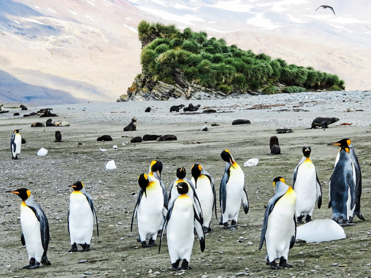 King penguins on South Georgia Island.