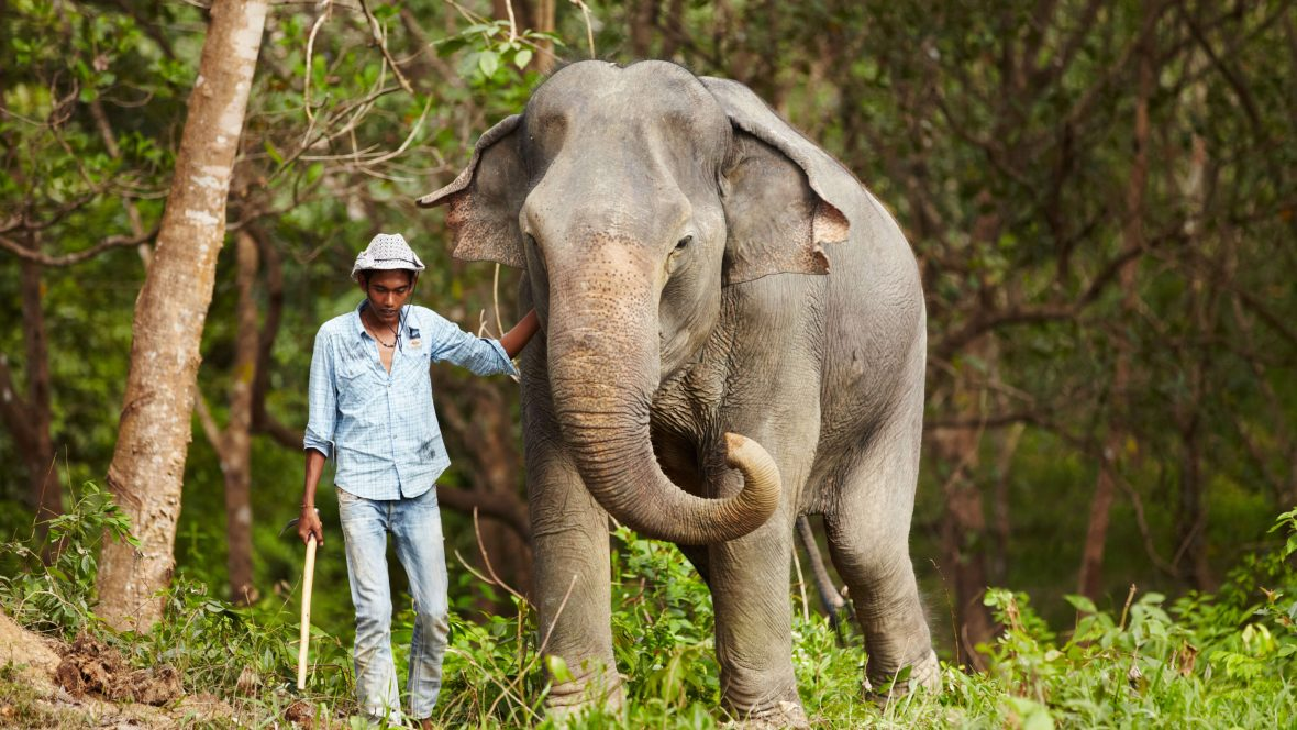A Thai keeper leading an Asian elephant through the forest