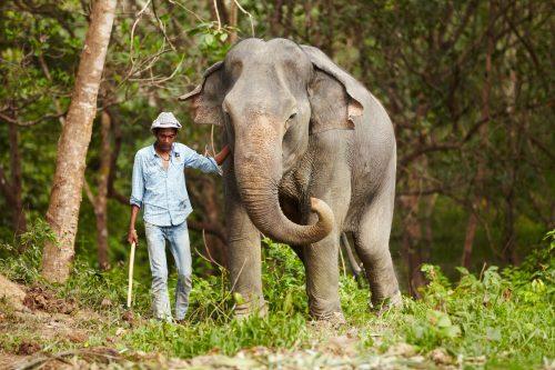 A Thai keeper leading an Asian elephant through the forest
