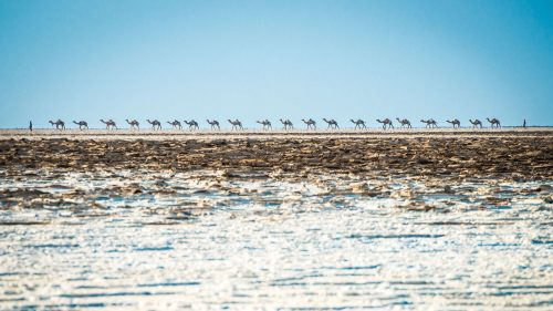 Camels are lead through the salt plains in the north of Ethiopia.