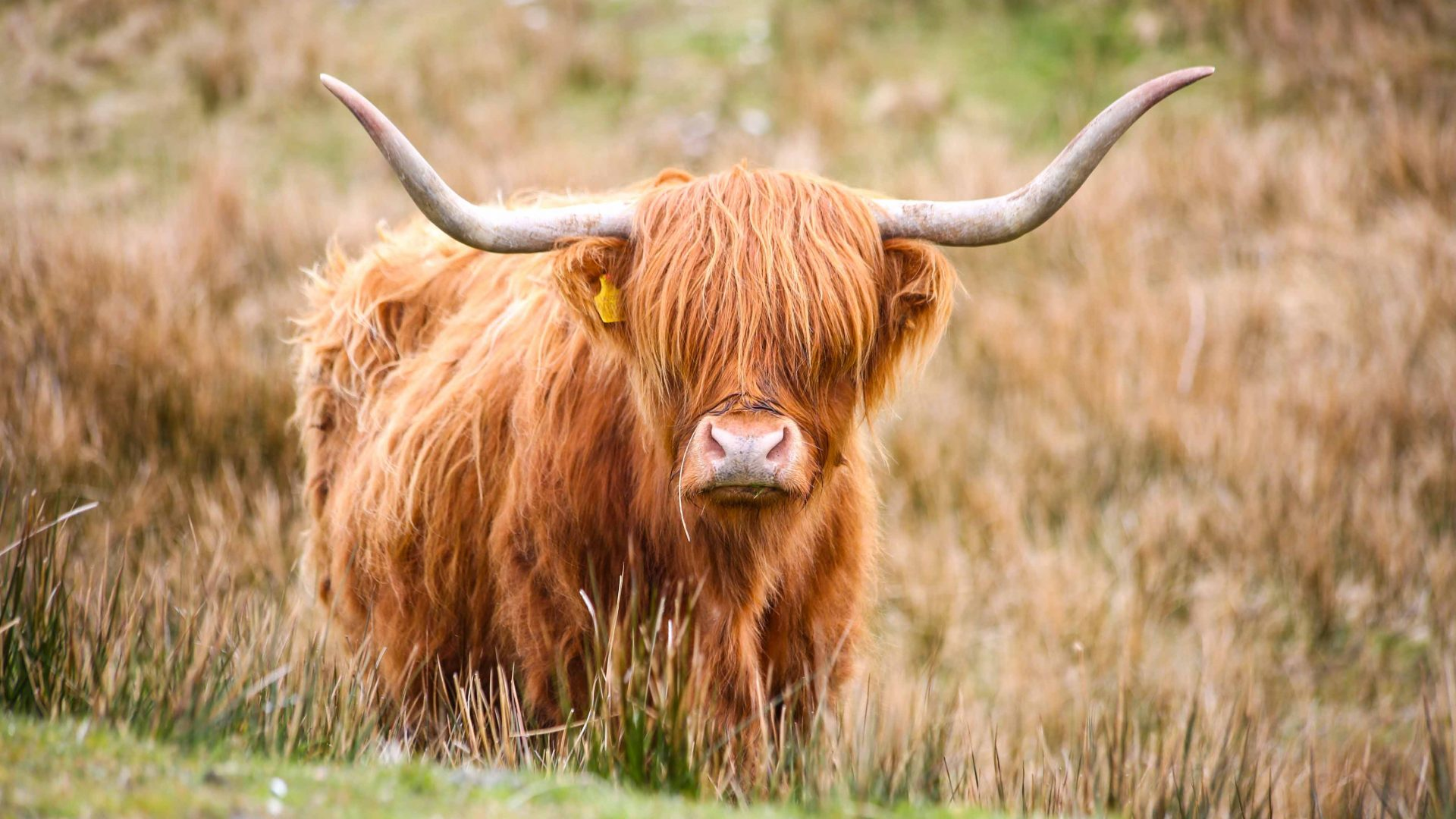 Snorkelling in Scotland: A Highland cow mooches in the fields.