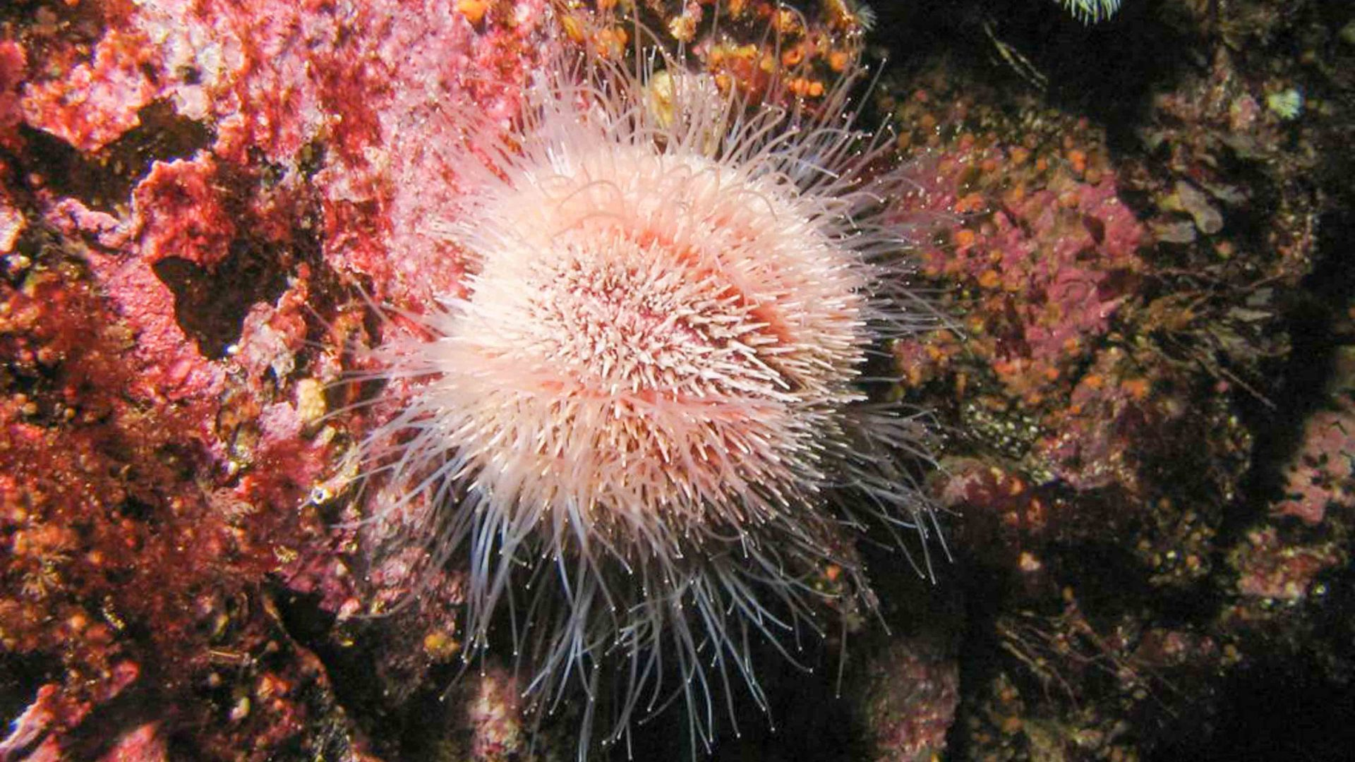 Snorkeling in Scotland; A sea anemone under the water in Scotland.