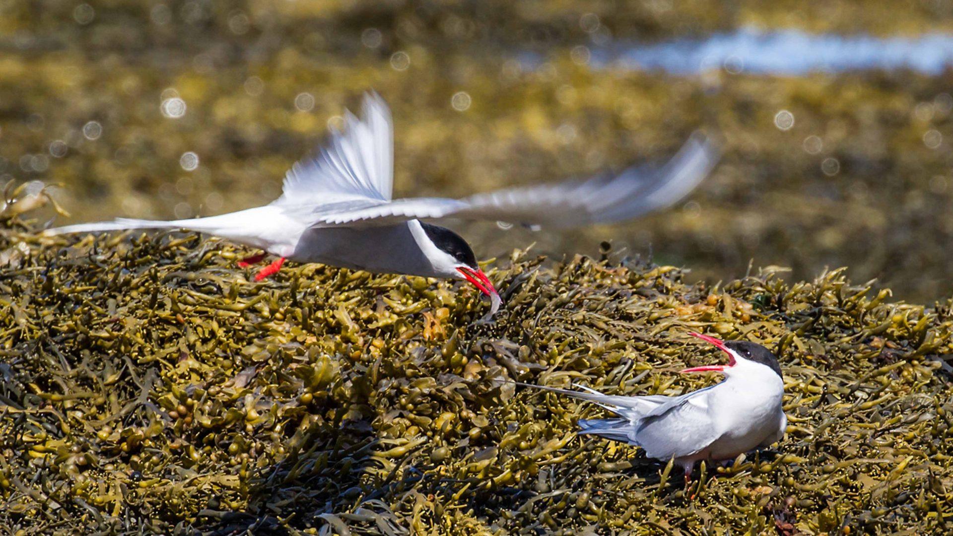 Some of the sea birds who occupy Flatey Island.