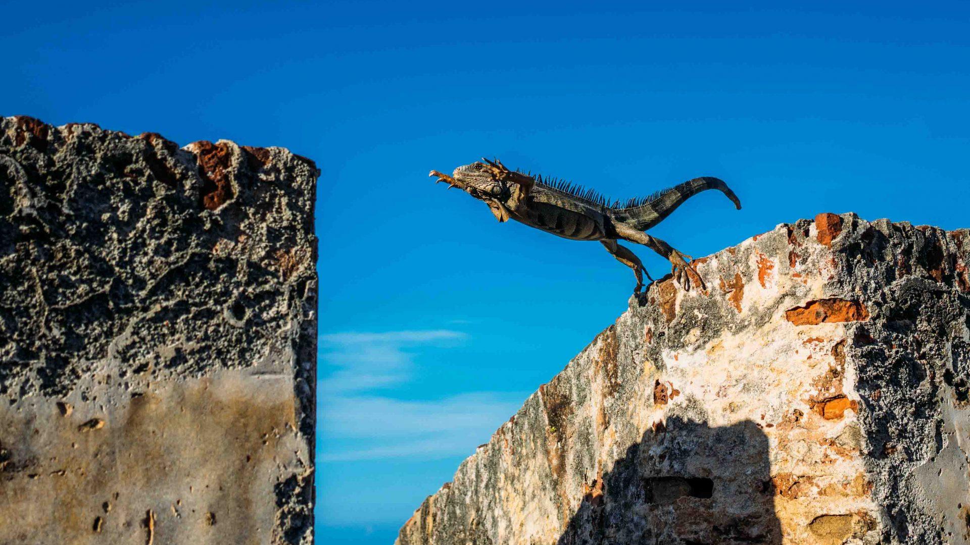 An iguana in Puerto Rico.