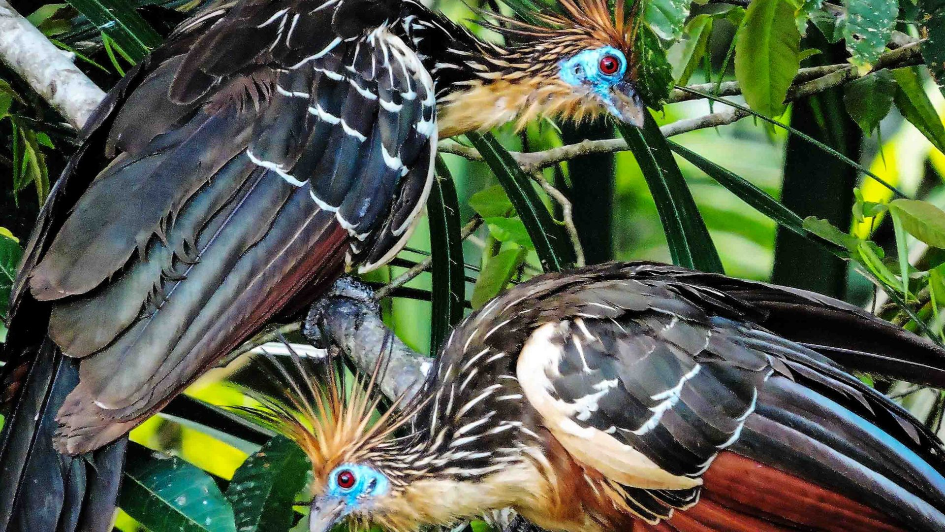 Mohican-crowned hoatzin bird at Chalalan Lodge, Madidi National Park.