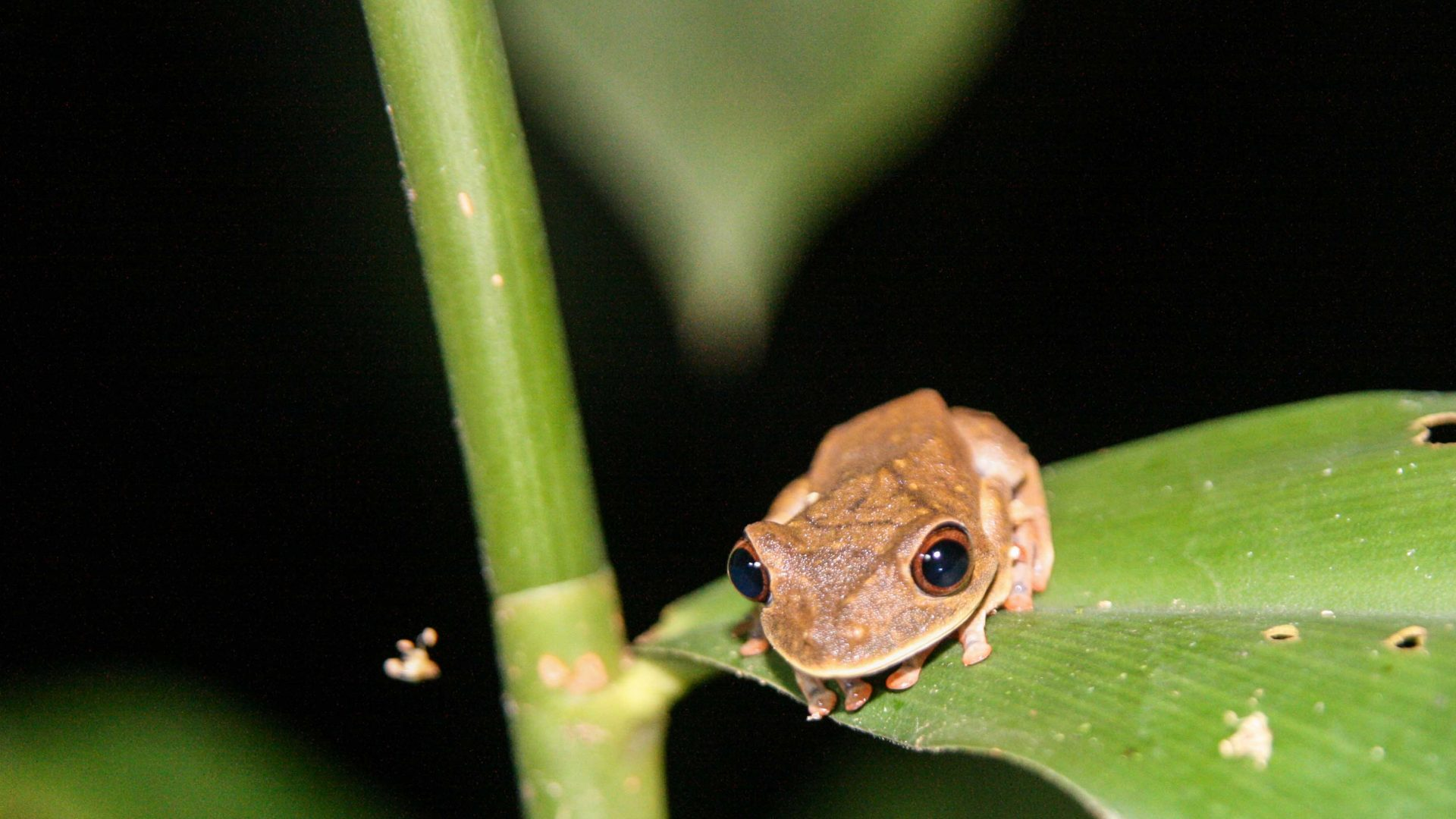 A frog in the Amazon at Madidi, Bolivia.