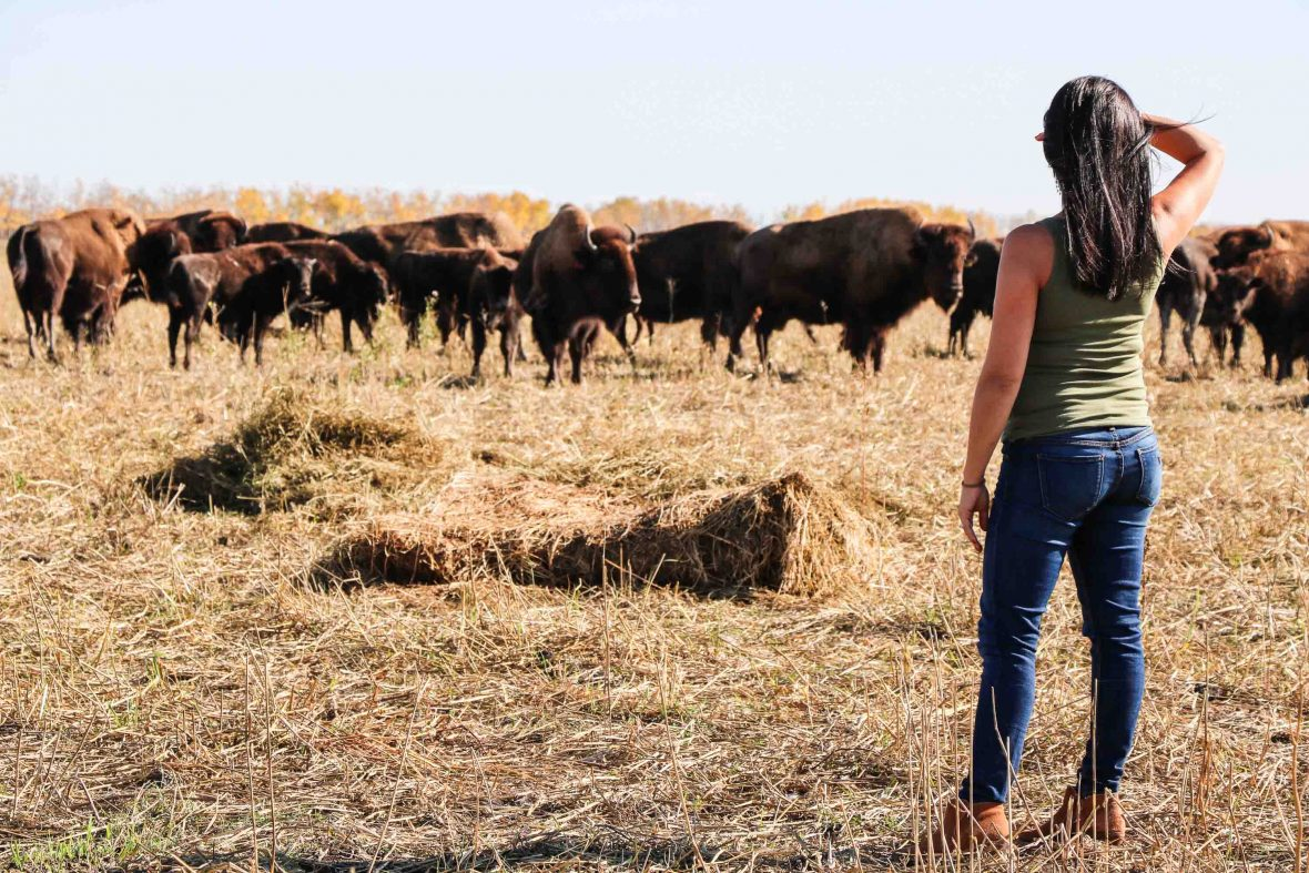 Canada First Nations cuisine: Feast Cafe Bistro Owner Christa Bruneau-Guenther visits the bison farm that supplies the restaurant with meat.