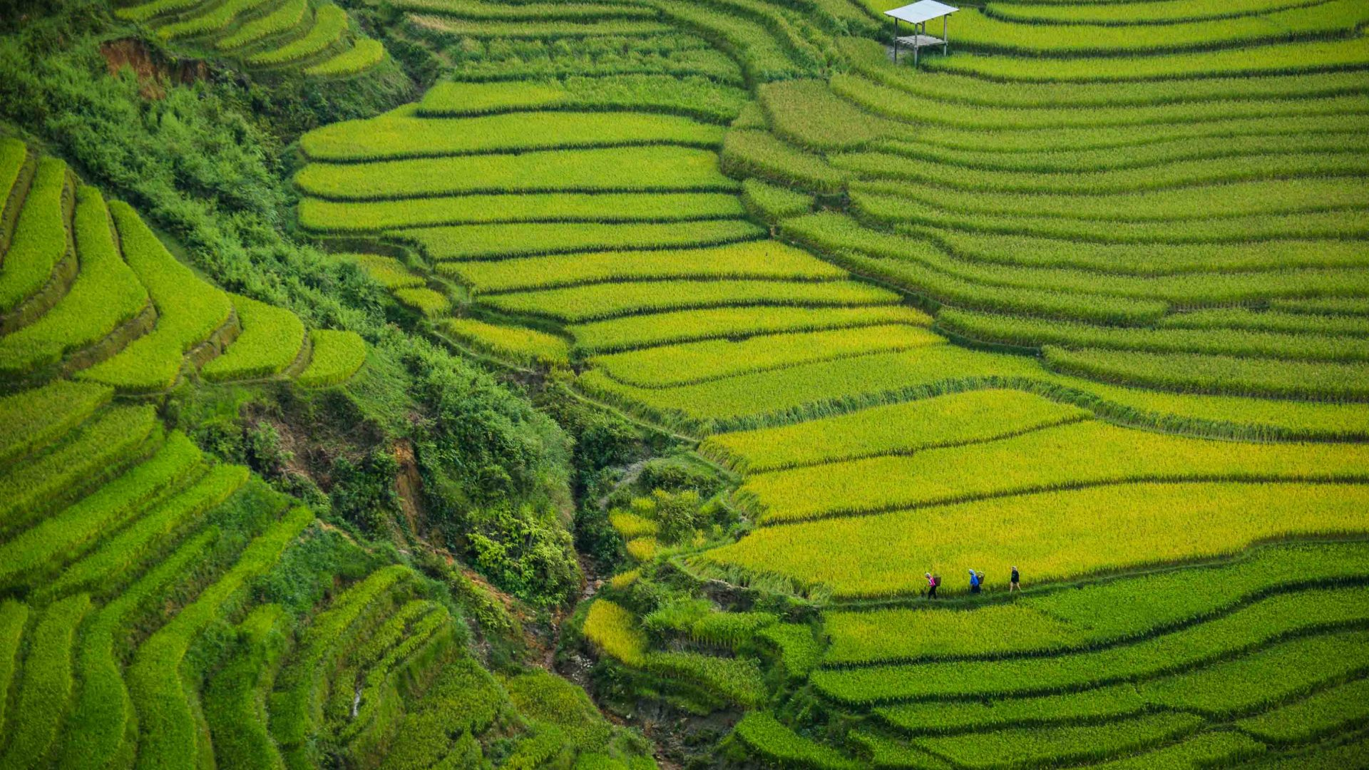 Terraced rice paddies along the Khau Pha Pass, Vietnam.