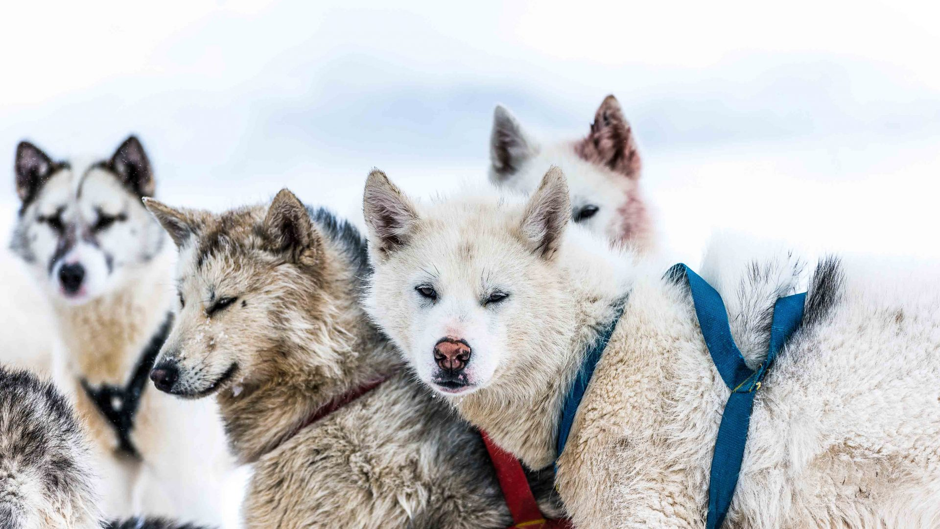 These husky-like sled dogs have been used in Greenland for over 4,000 years.