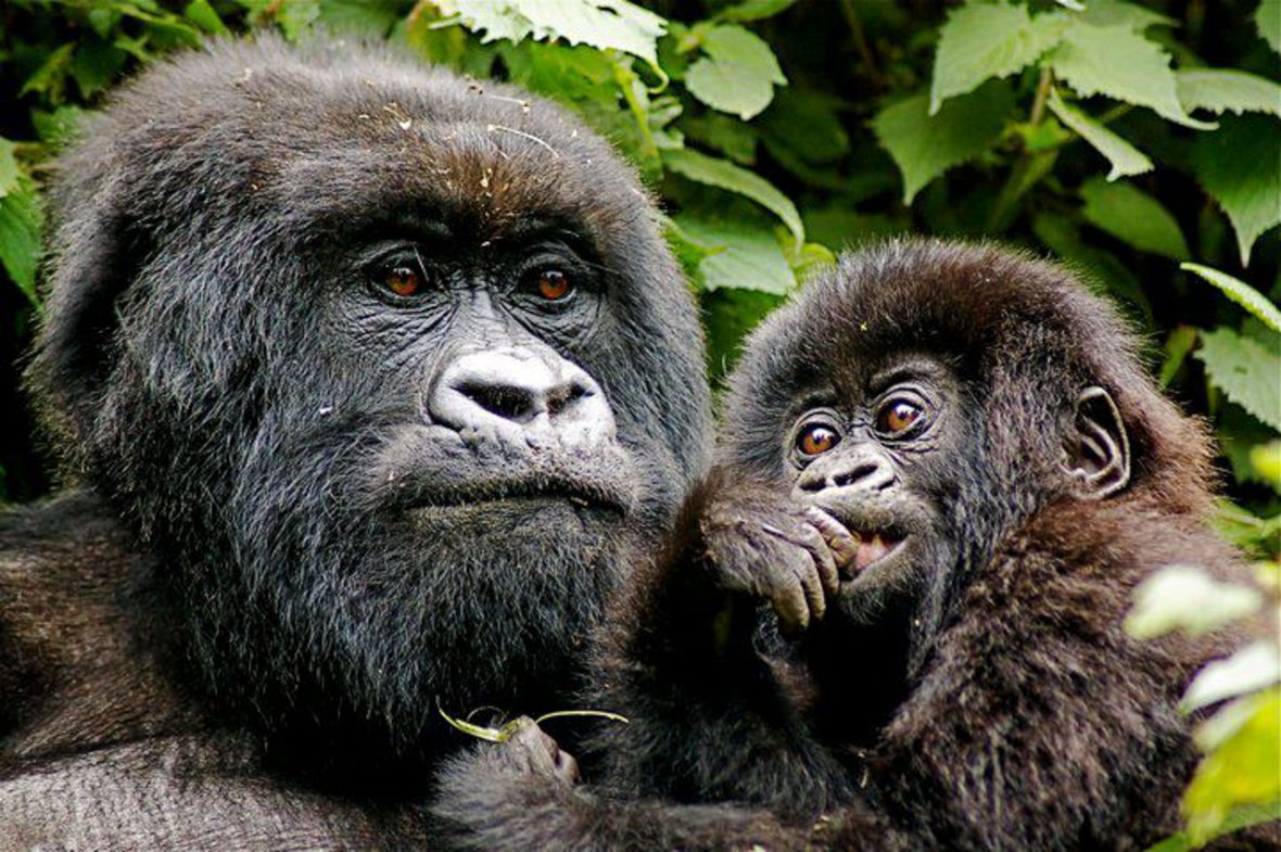 Adventures 2018: Gorillas are the highlight of this tour through Rwanda and Uganda.