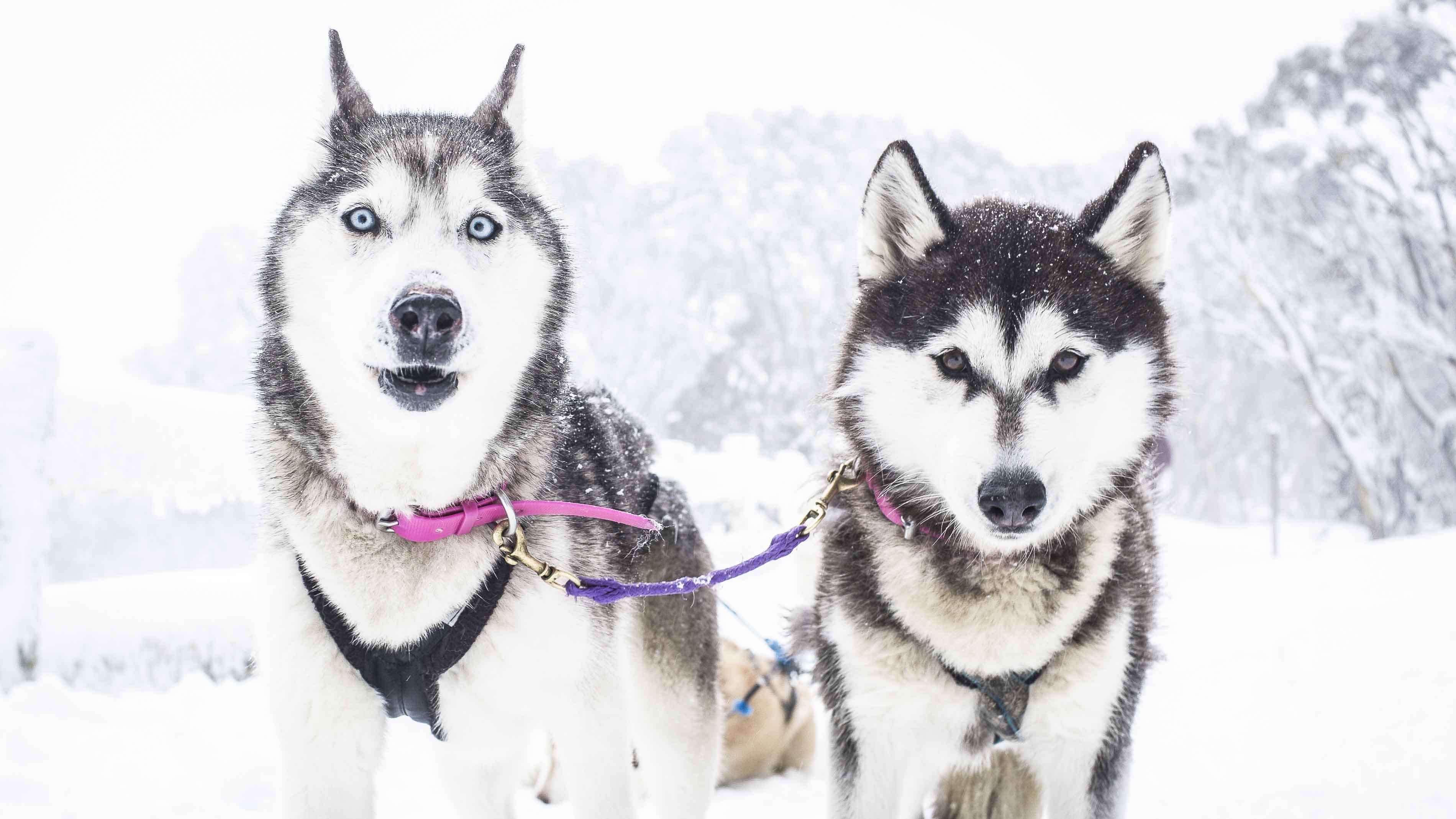 Forget the Arctic, how about husky sledding in Australia ...