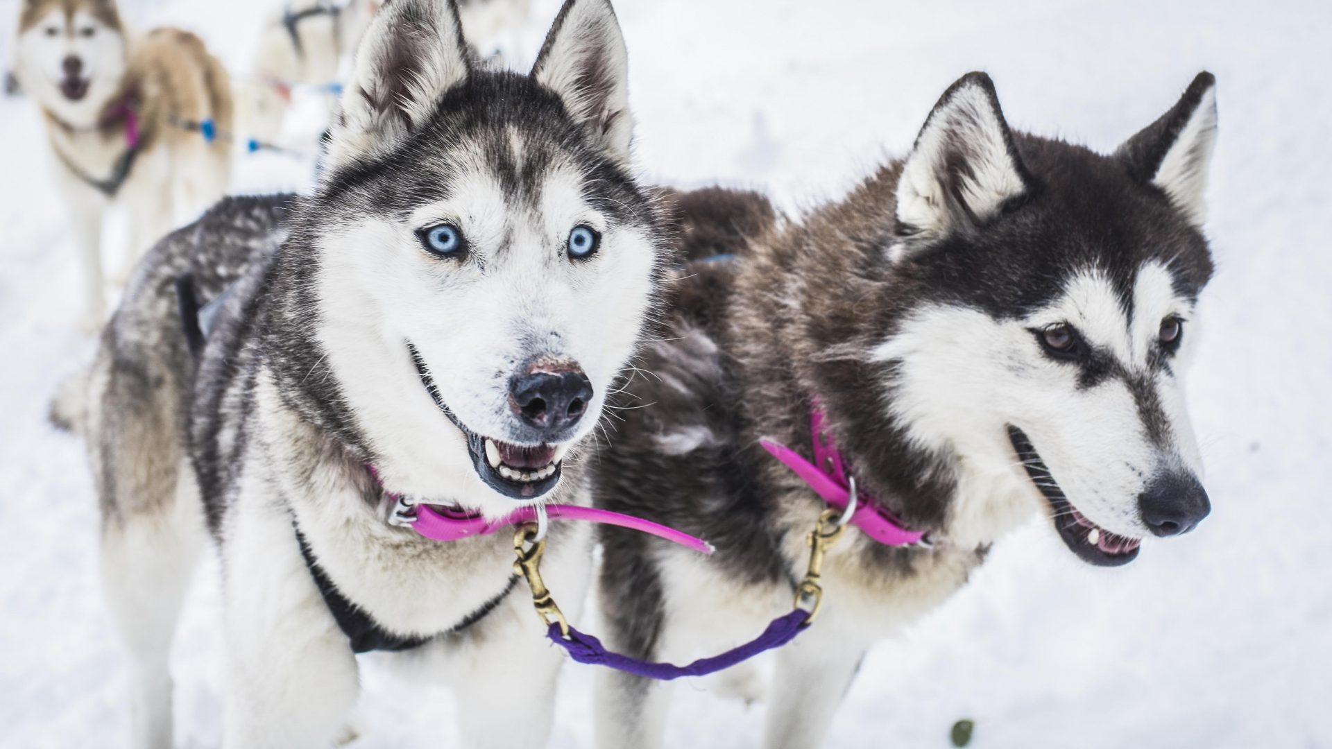 Storm and Alaska, the two lead dogs, enjoy a rest.