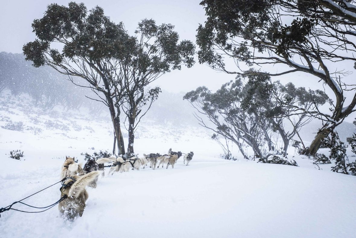 The huskies get up some speed on a downhill section on Mount Baw Baw, Australia.