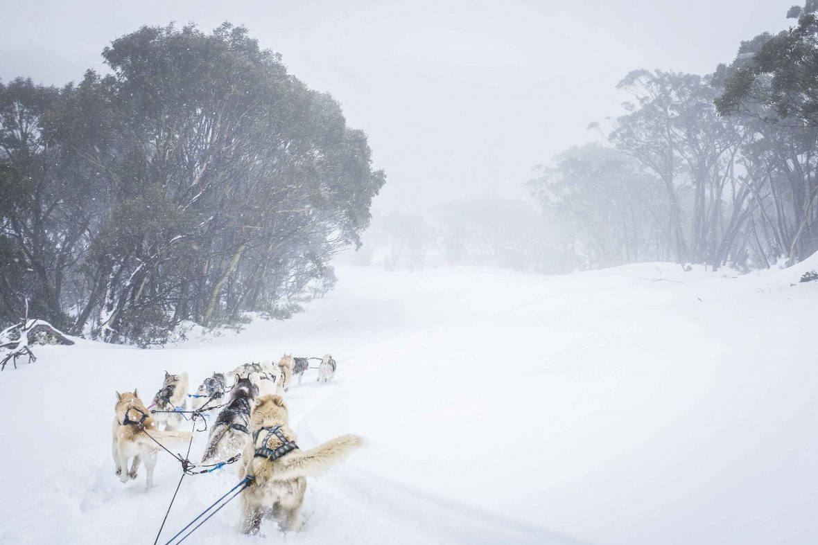 The huskies battle blizzard-like conditions atop Mount Baw Baw, Australia.