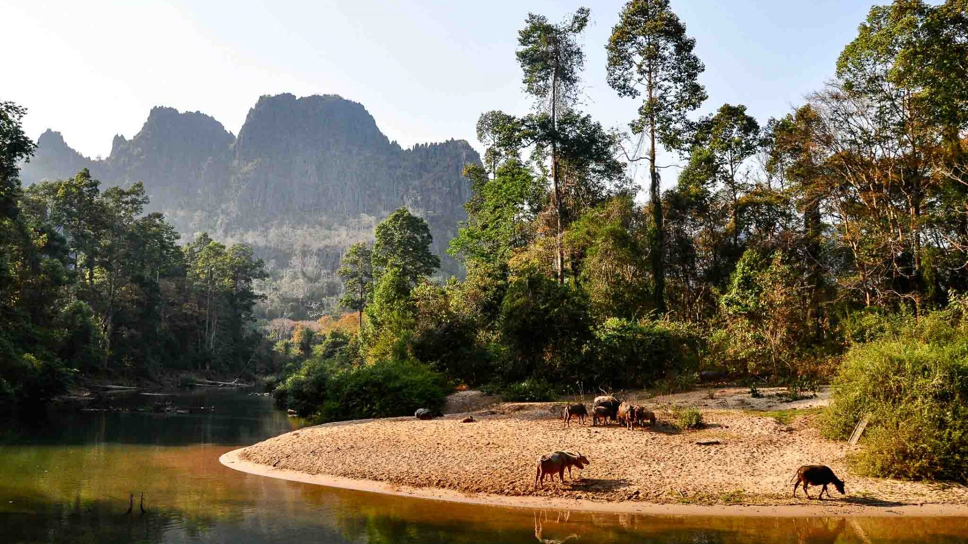 Buffalo relax on the shore of the Hinboun River in Laos.