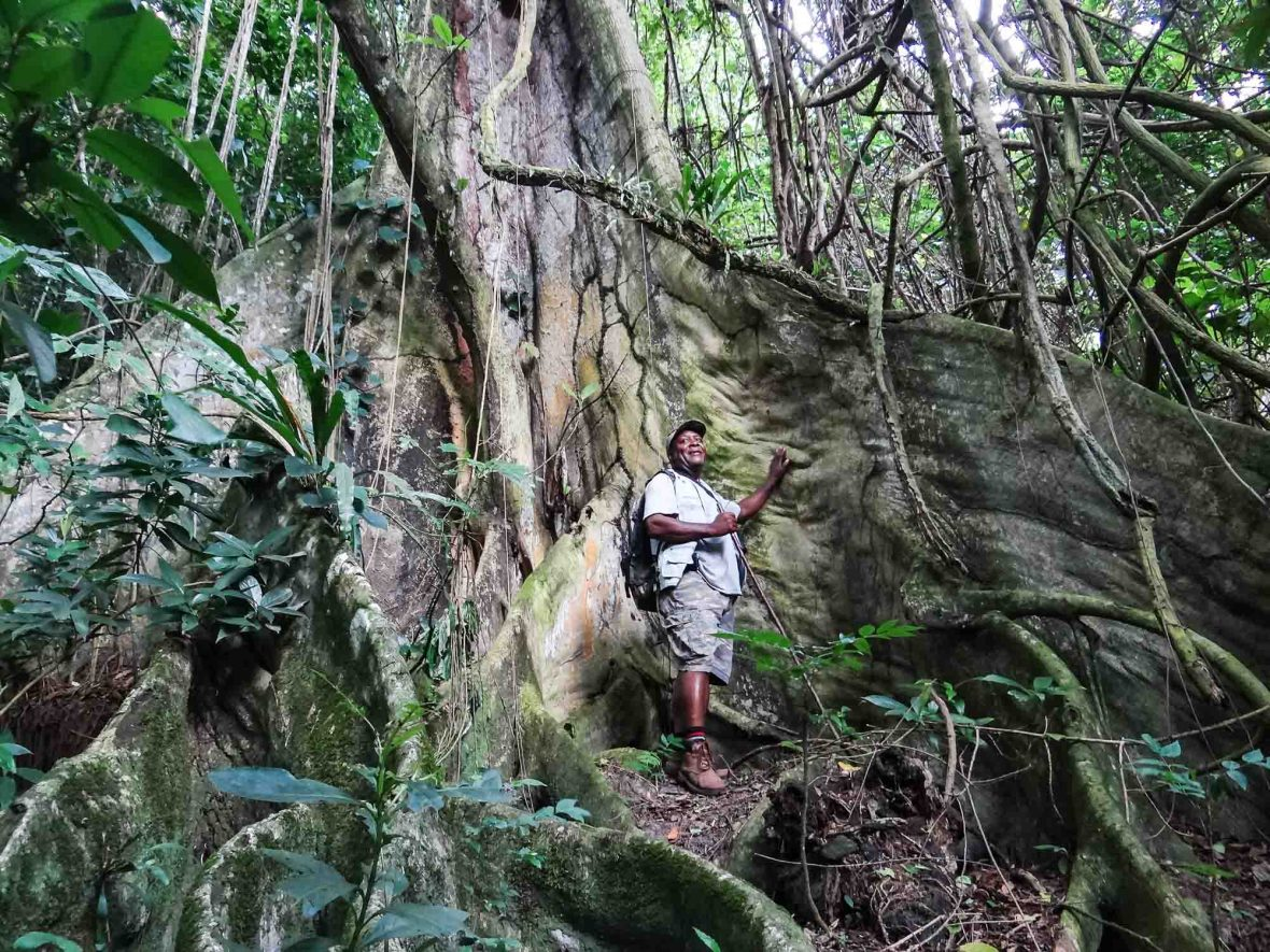 Scriber is dwarfed by a banyan tree deep in Montserrat's unspoilt Centre Hills forest.