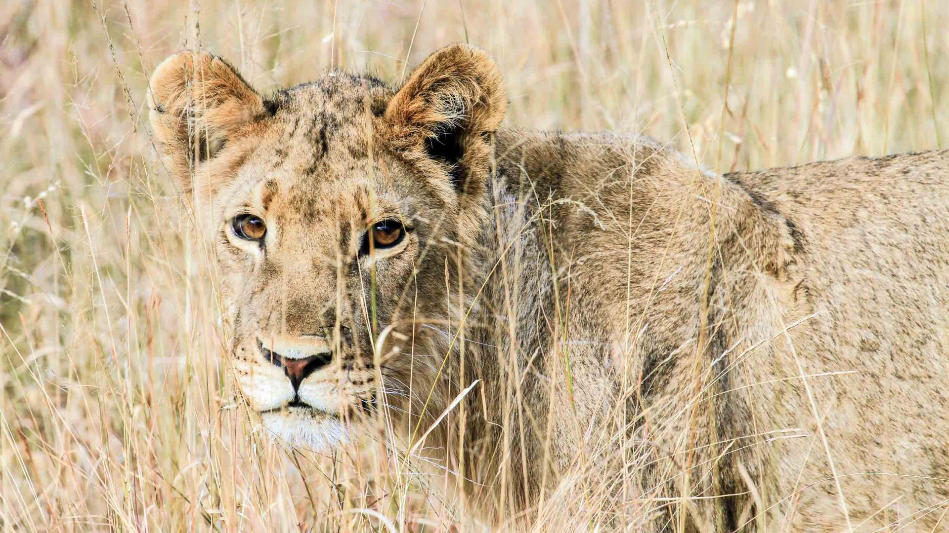 One of the six cubs of Cecil's pride, the lion who was hunted and killed just outside Hwange National Park, Zimbabwe in 2015.