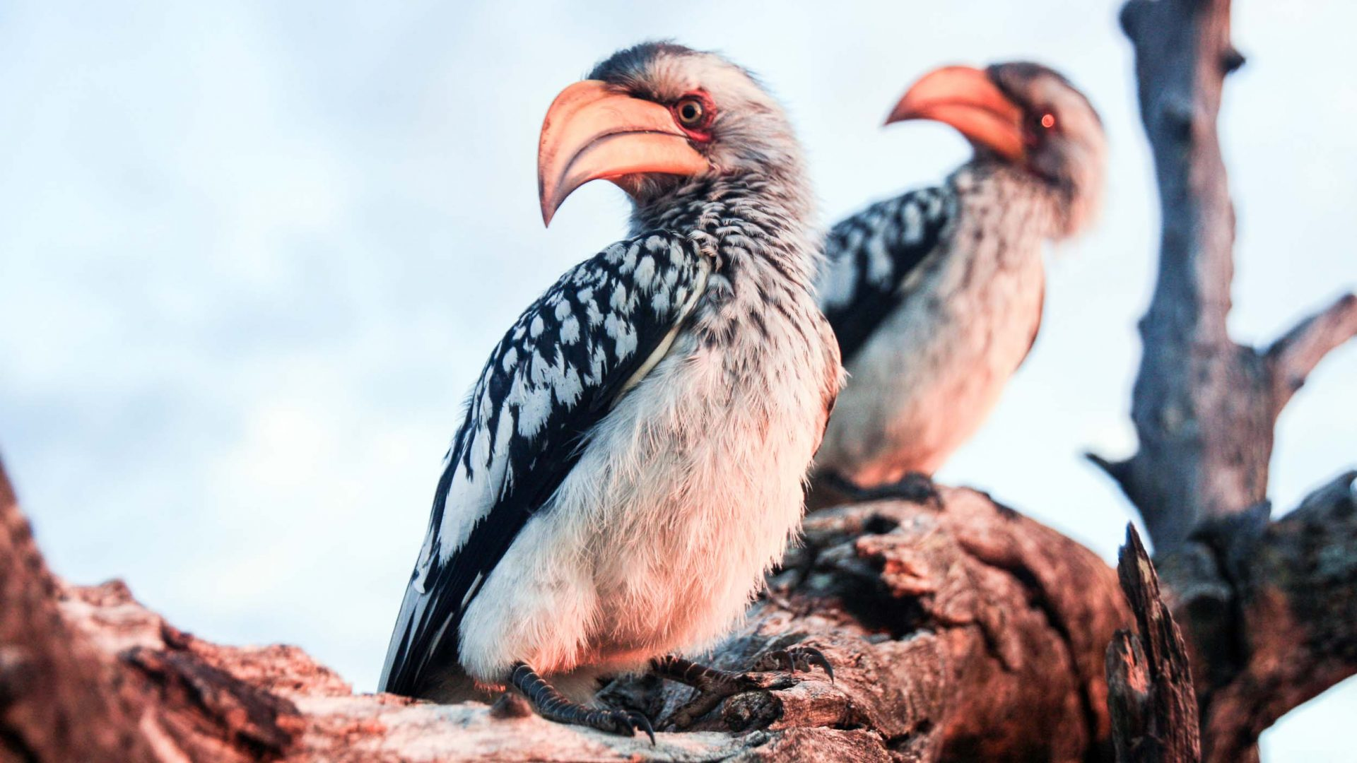 Yellow-billed hornbills in Hwange National Park, Zimbabwe.