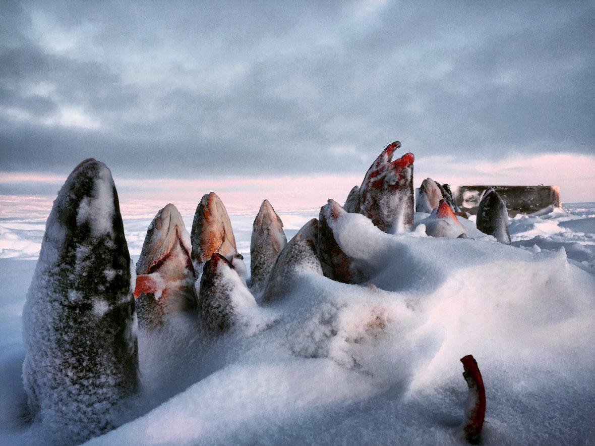 Frozen iqalupik fish lie on the shore in the Canadian arctic.