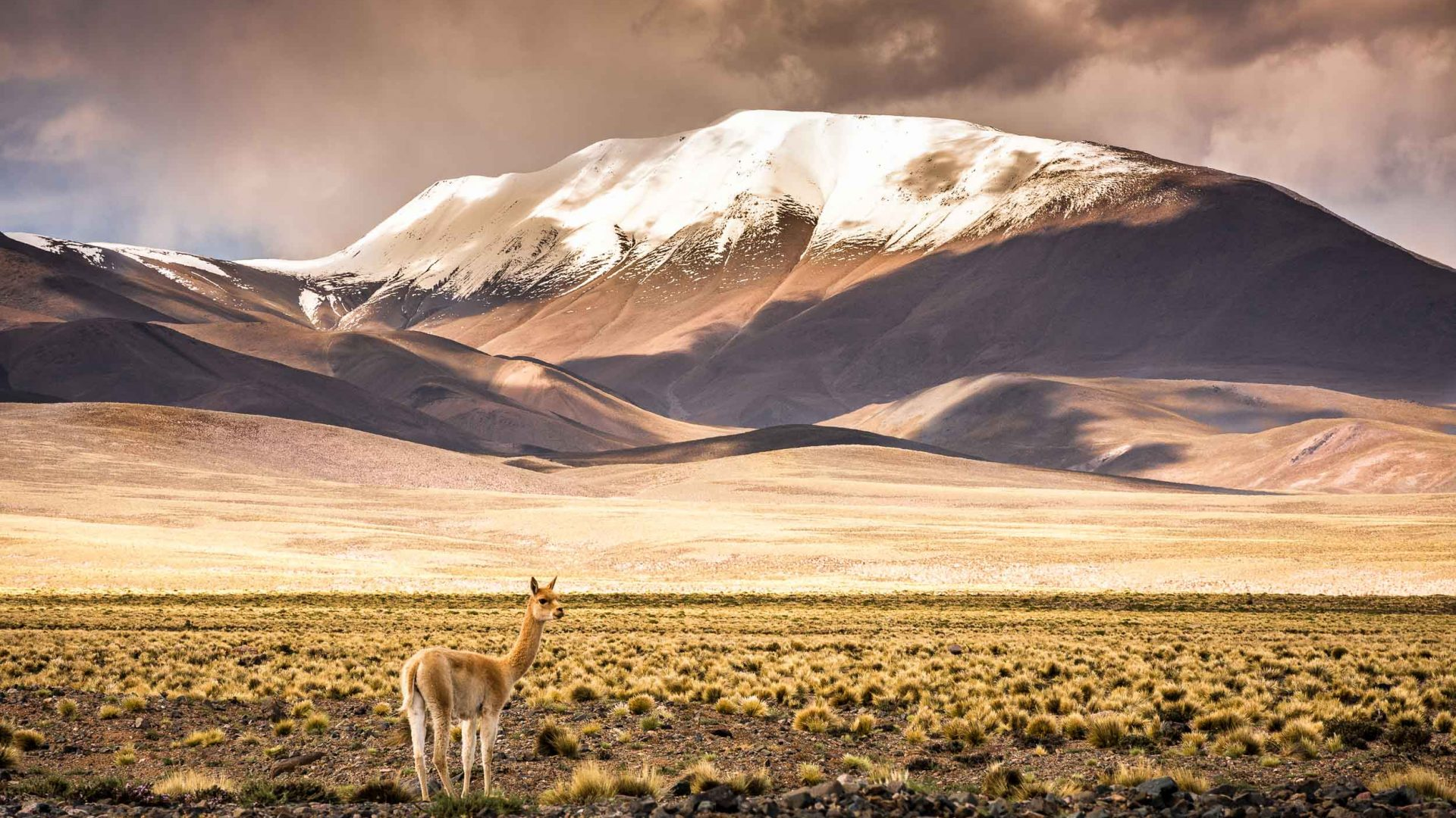 A llama stands solo against the backdrop of a snowy mountain in Salta, Argentina.