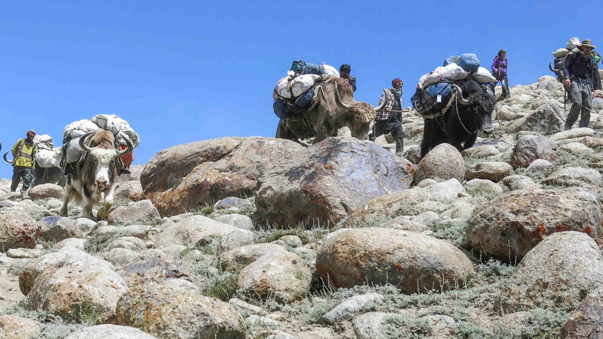 Hikers climb a steep mountain, with the help of local yaks.