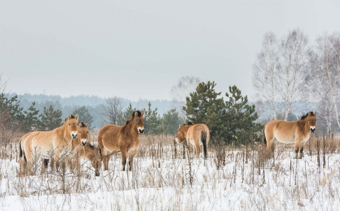 Endangered Przewalski horses in the Chernobyl Exclusion Zone.