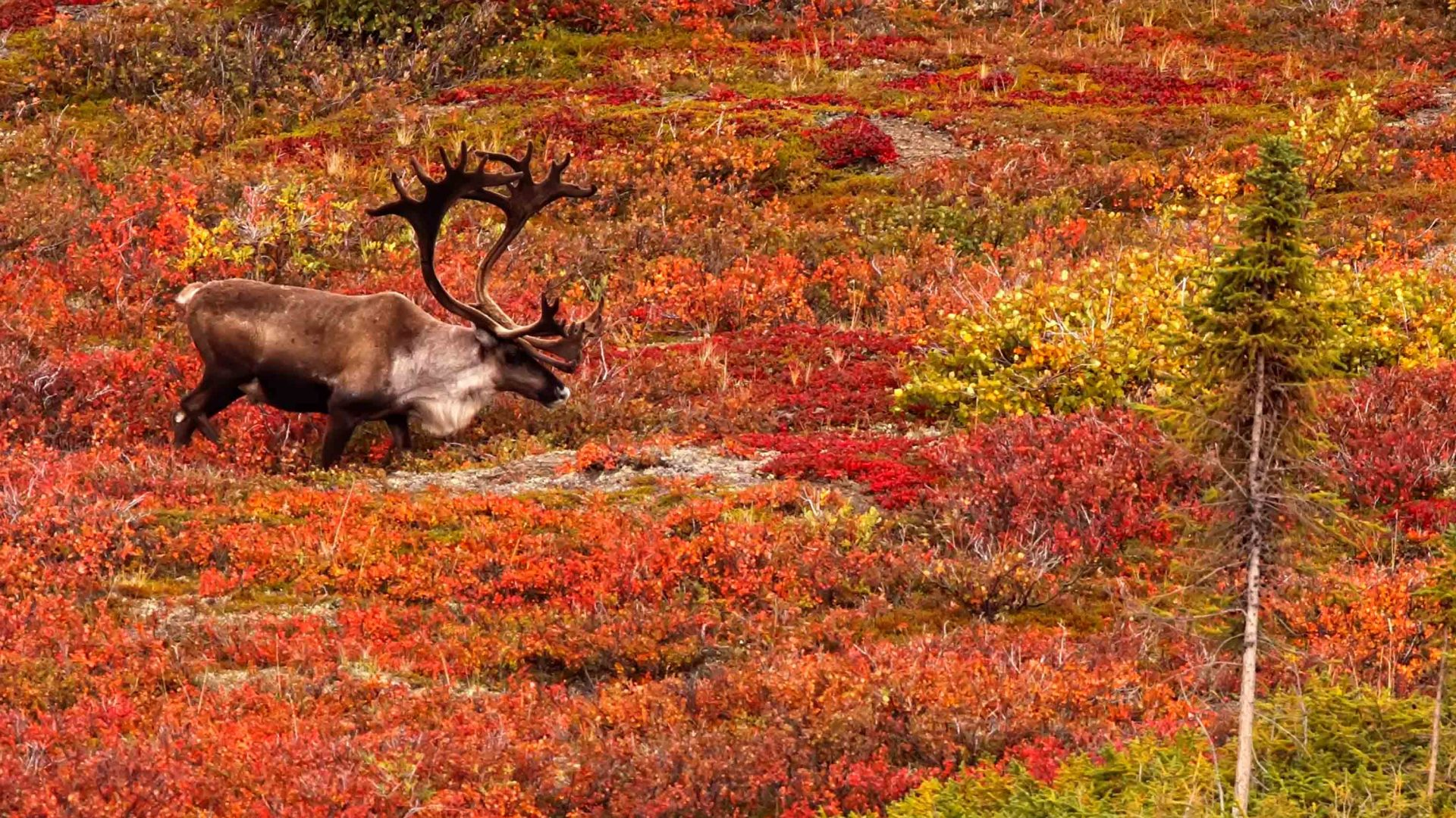 A caribou crosses Dempster Highway during autumn in the Yukon.