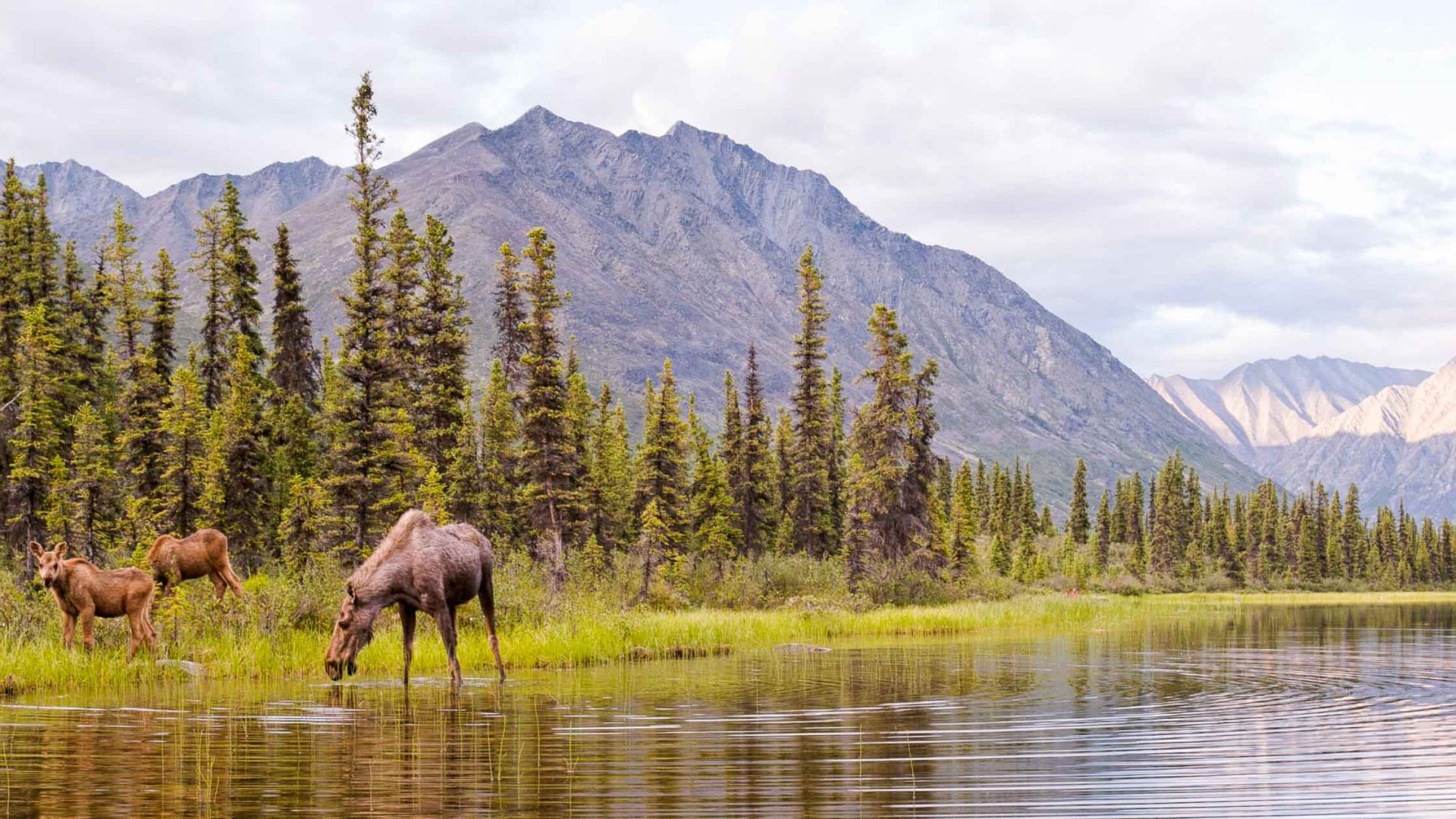 Moose grazing by Wind River, Northern Yukon.