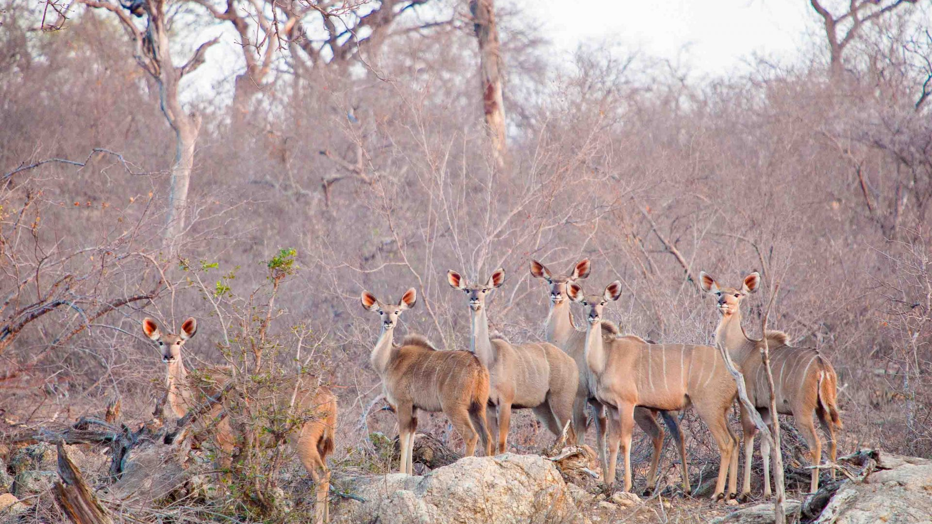 Greater kudus in Balule Nature Reserve in South Africa.