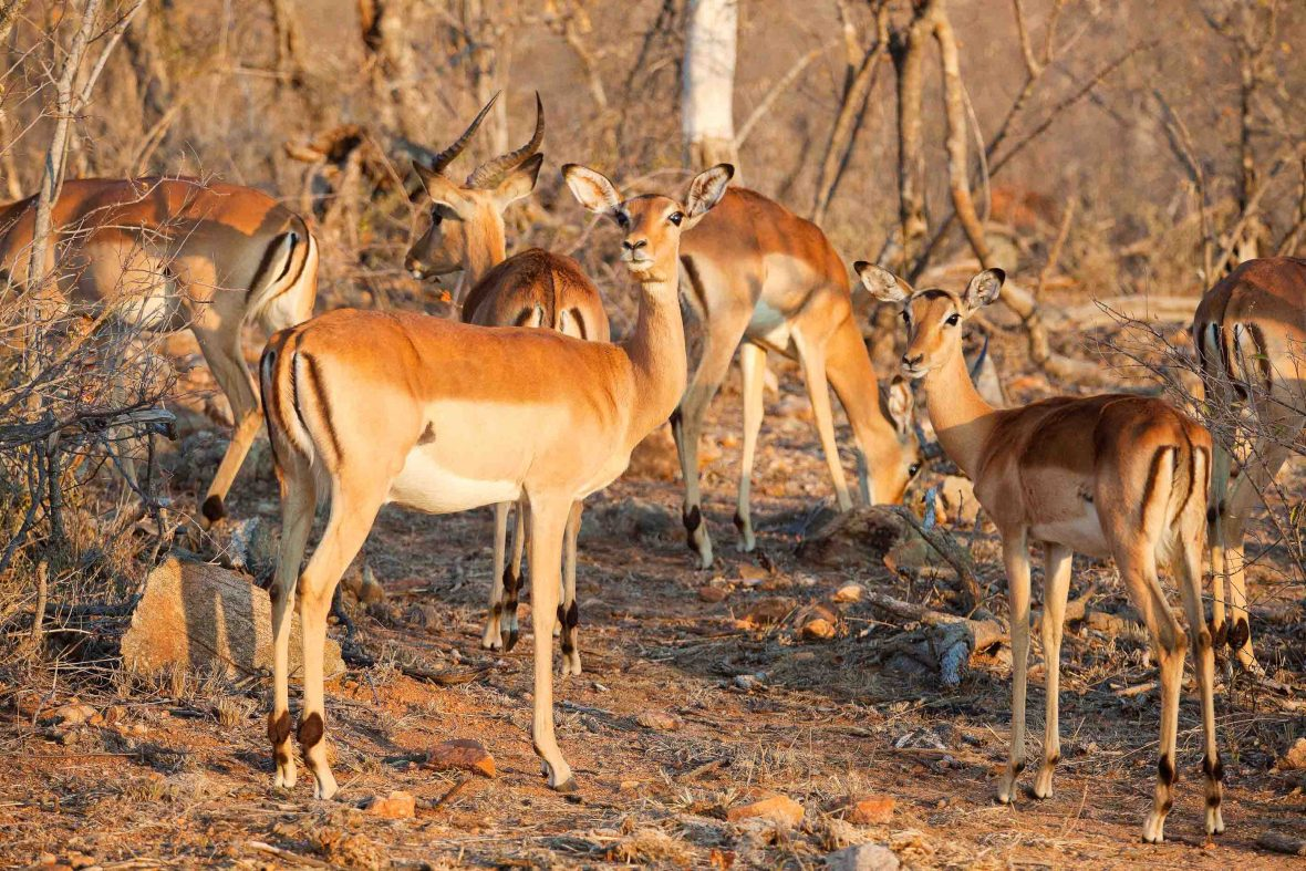 Impalas at Balule Nature Reserve in South Africa.