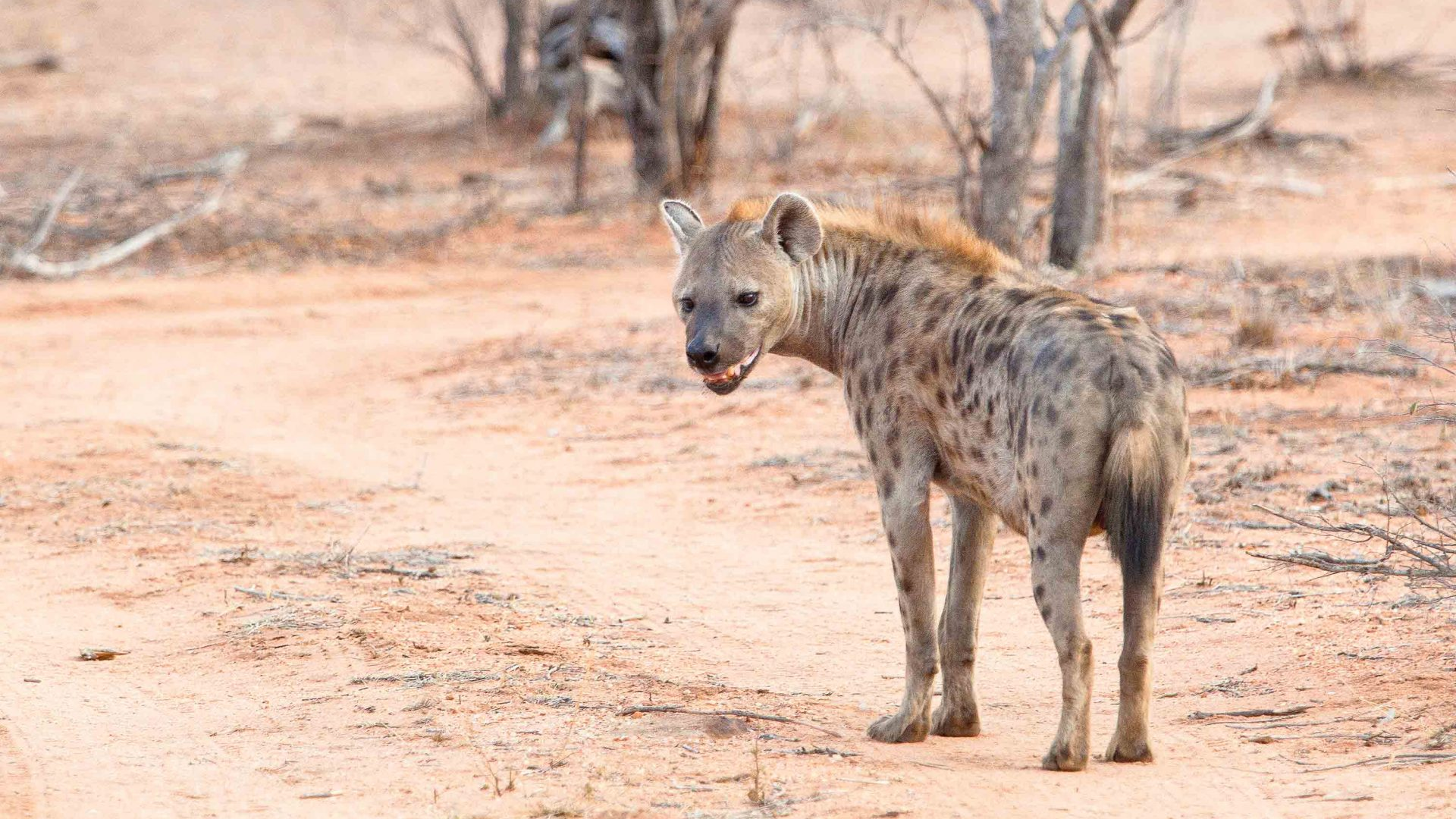 A hyena in Balule Nature Reserve in South Africa.