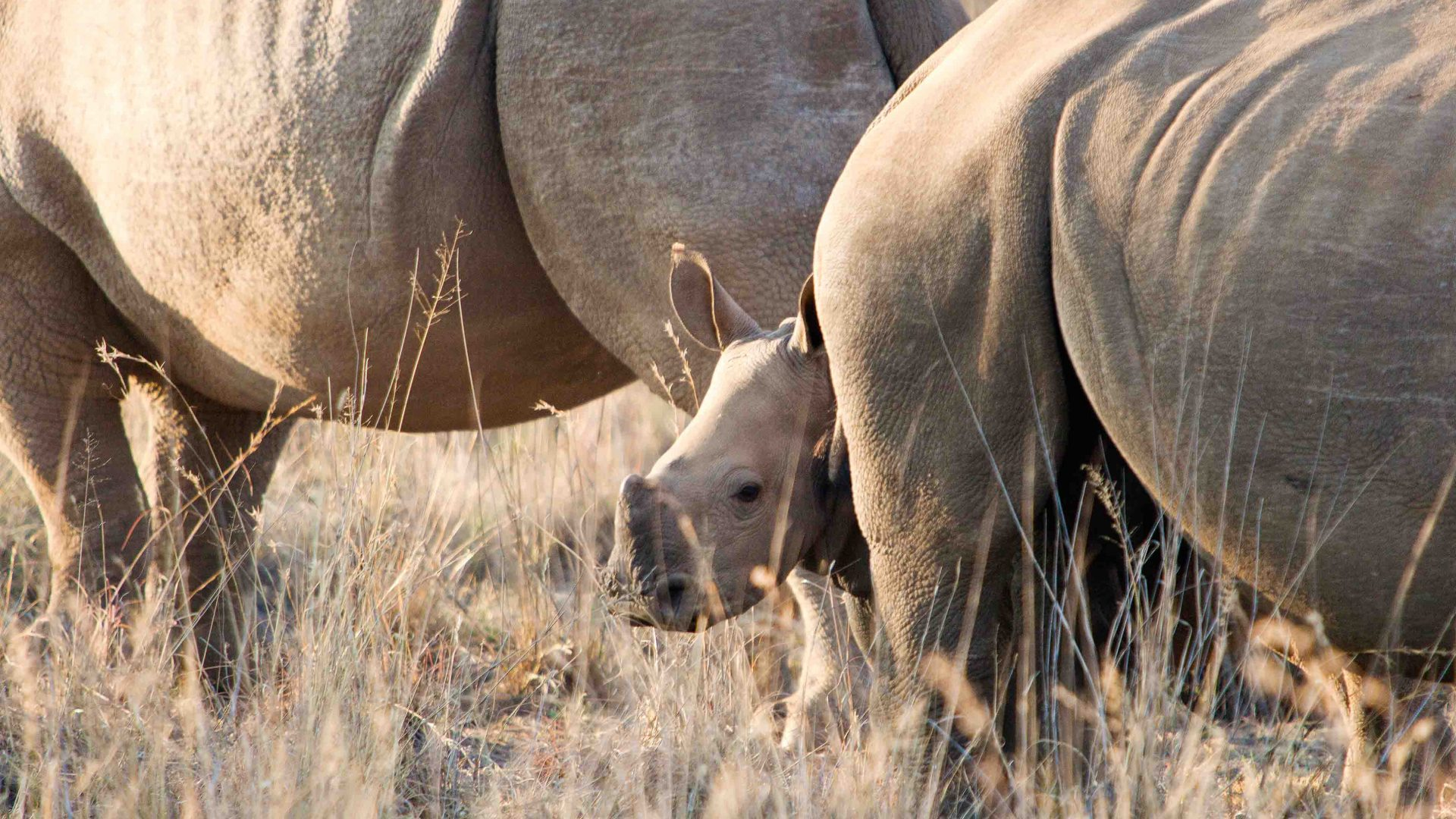 White rhino in Balule Nature Reserve in South Africa.