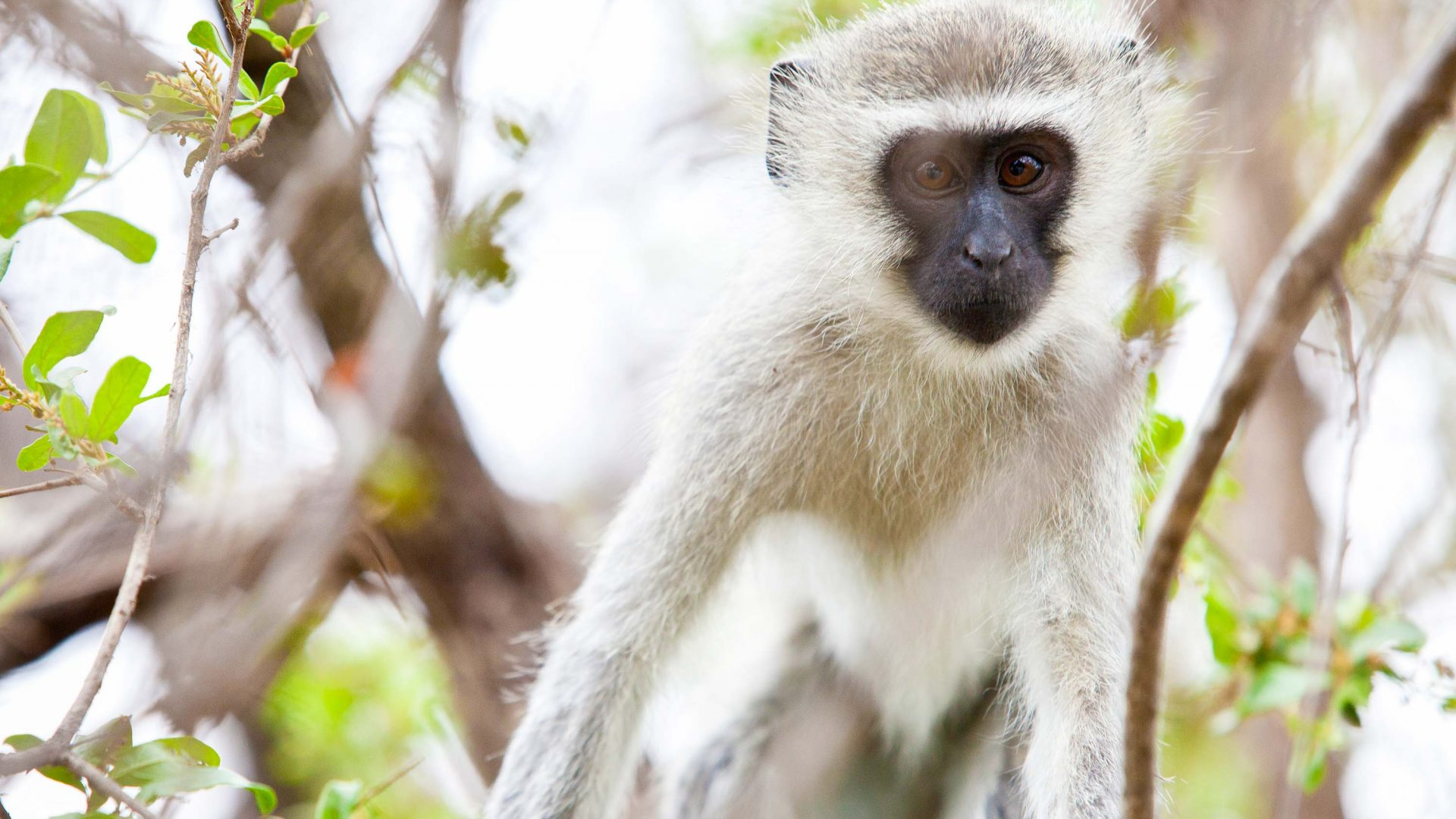 A vervet monkey in Balule Nature Reserve in South Africa.