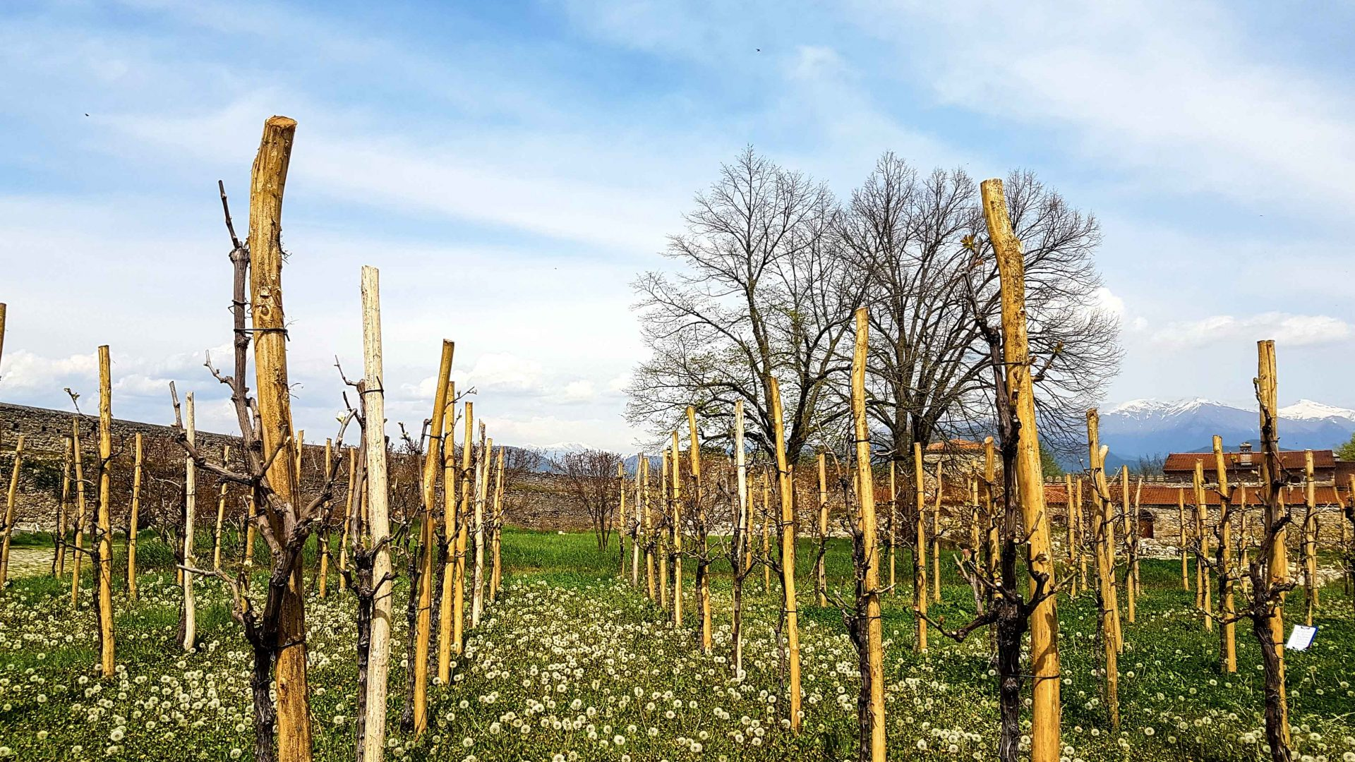 A vineyard of Saperavi grapes in Georgia.