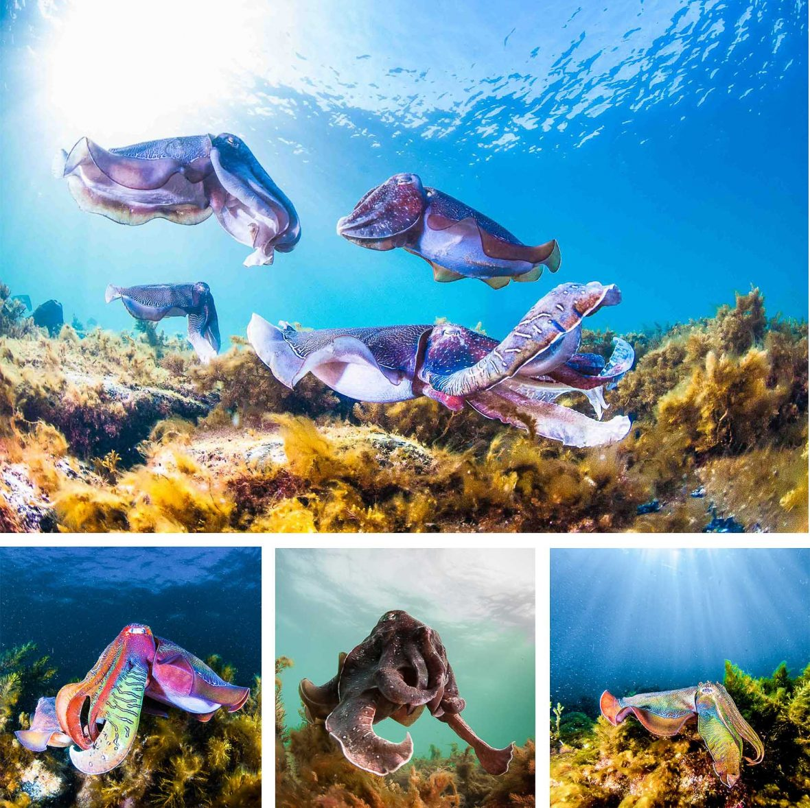Cuttlefish in a range of dazzling colors congregate to spawn in their thousands at Upper Spencer Gulf Marine Park in South Australia.