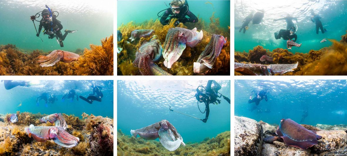 Snorkelers watch cuttlefish as they find their mate, spawn and die in the waters of Upper Spencer Gulf Marine Park in South Australia.
