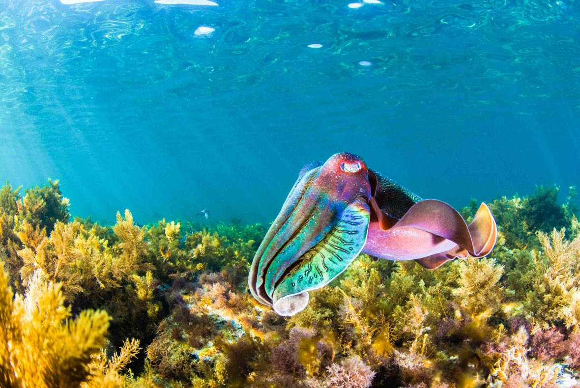 One of many of the beautiful cuttlefish to be found in the waters of Upper Spencer Gulf Marine Park in South Australia.